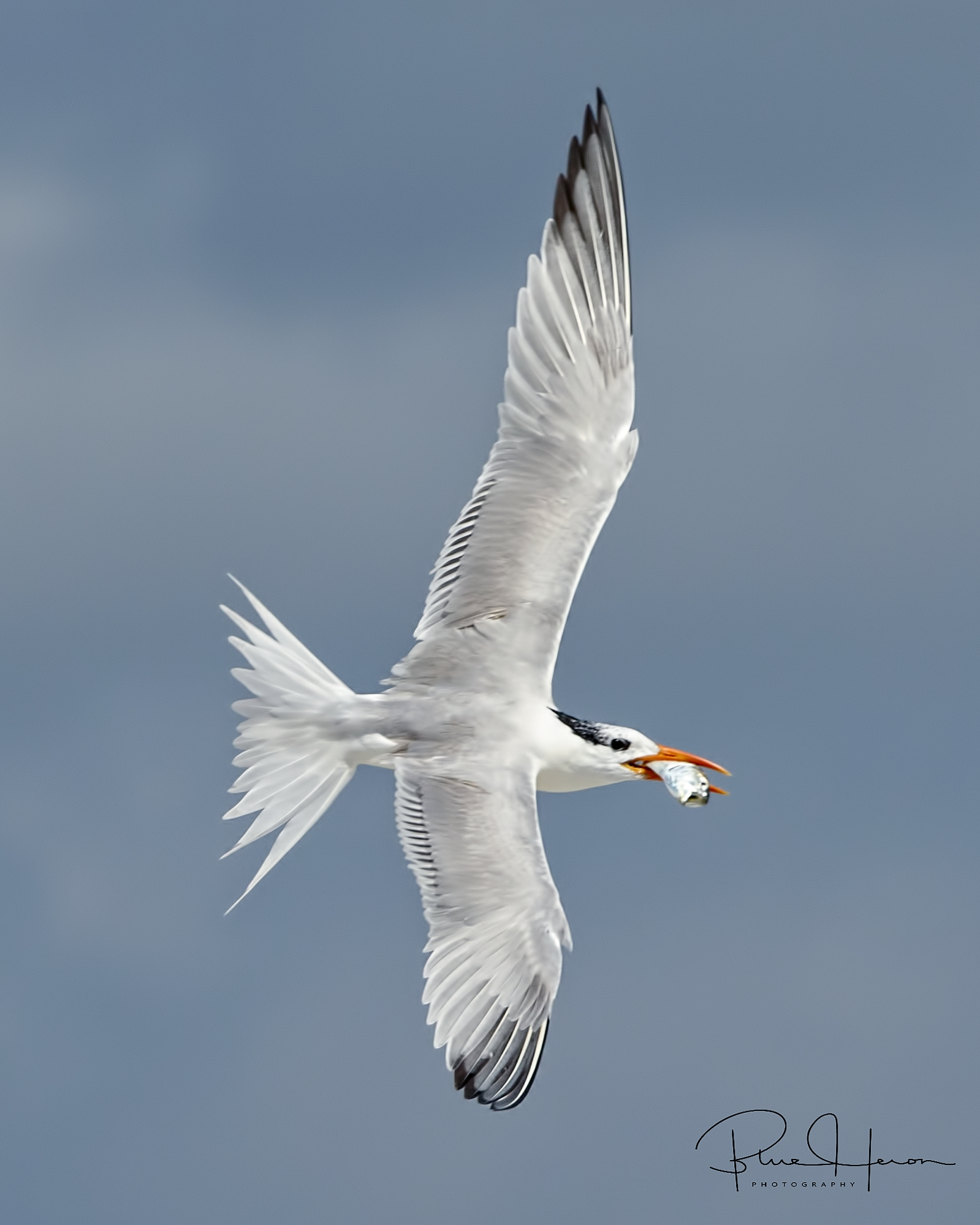 Royal Tern with fish spots its chick and starts a quick starboard turn..