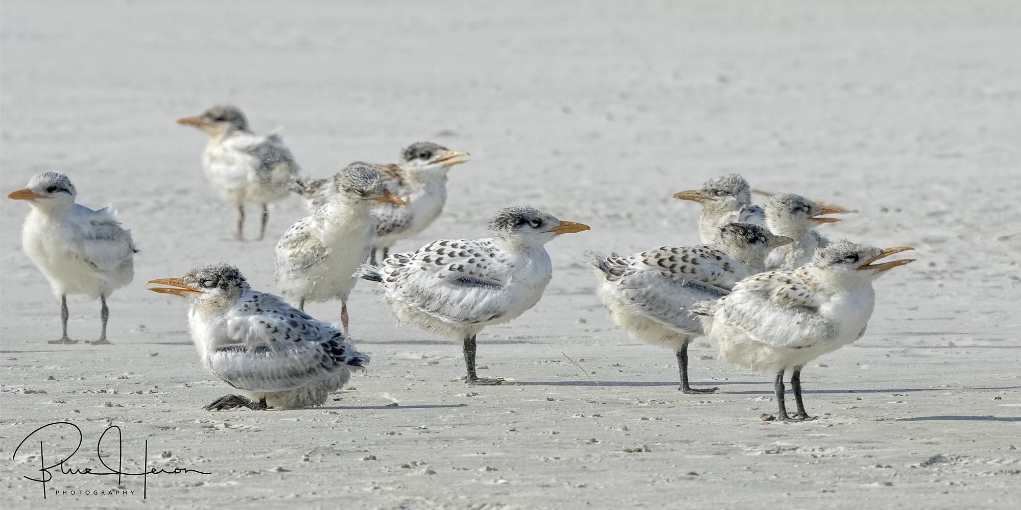 It is summertime and the beach is full of chicks...Royal Tern Chicks that is