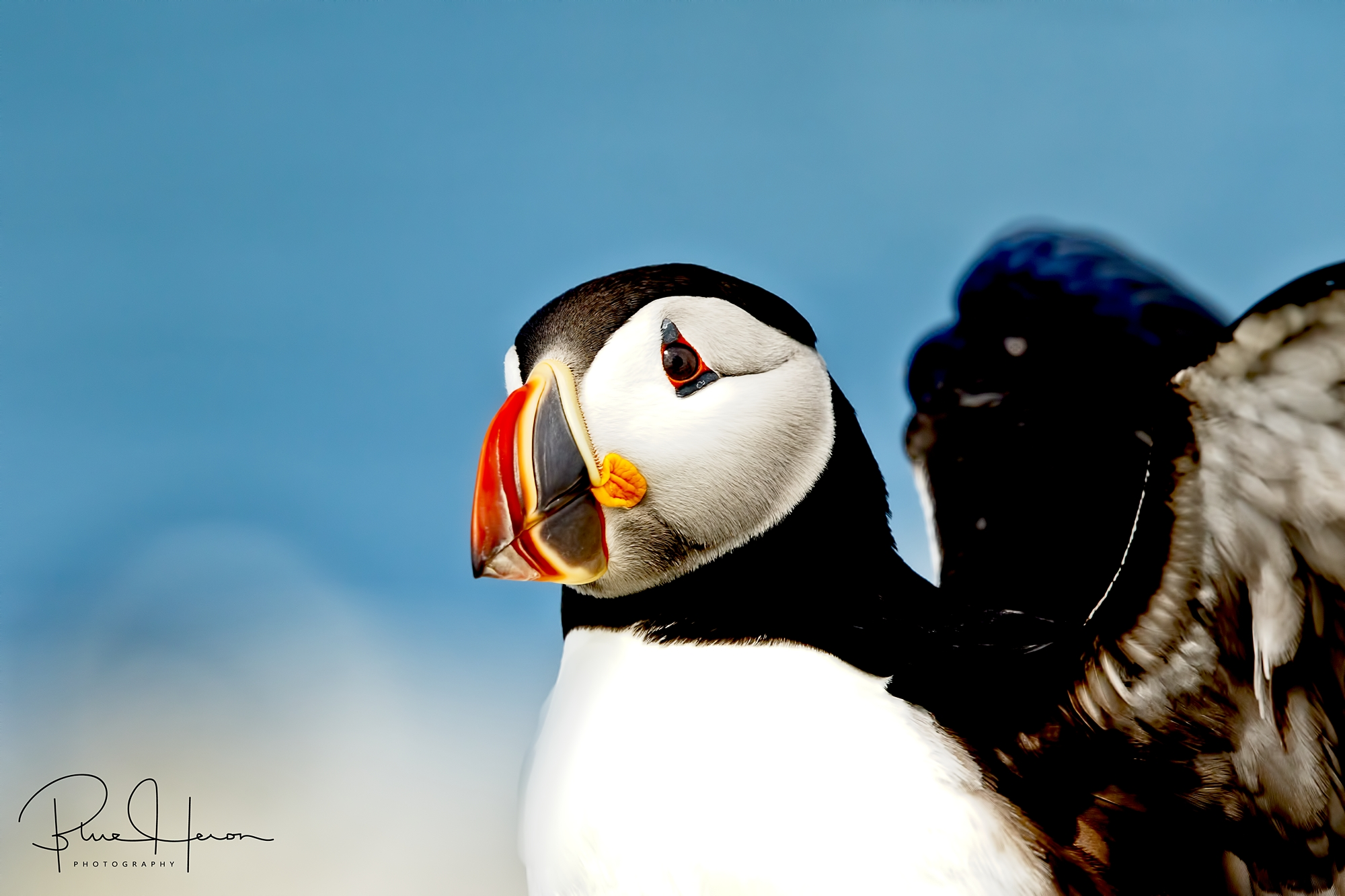 Wink n Wings....Atlantic Puffin