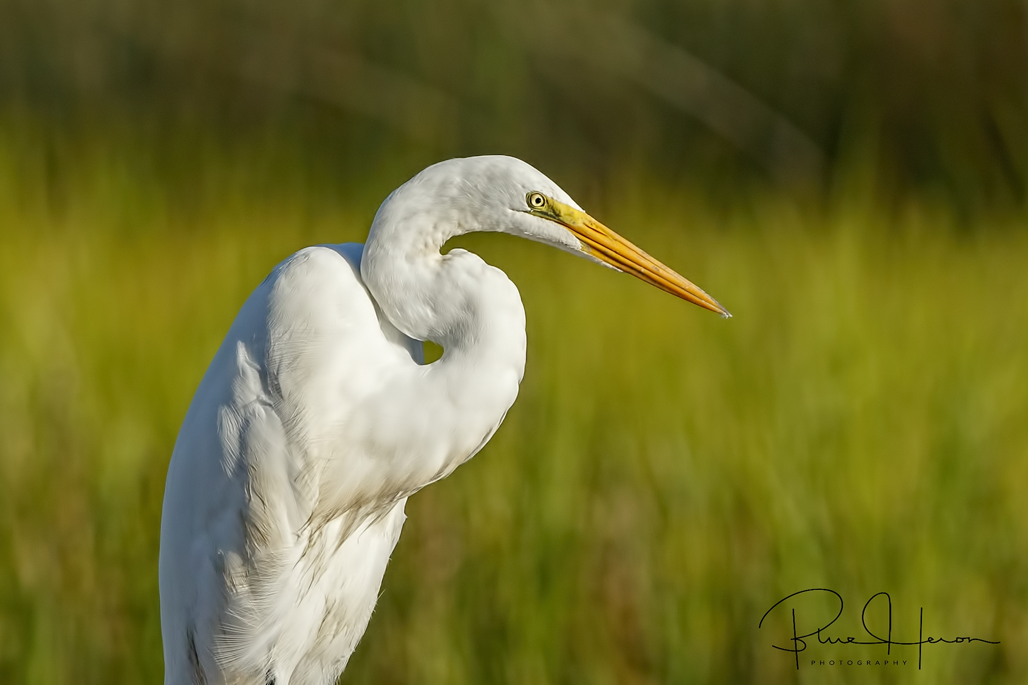 A graceful and elegant bird, the Great Egret is one of my favorite birds to photograph.