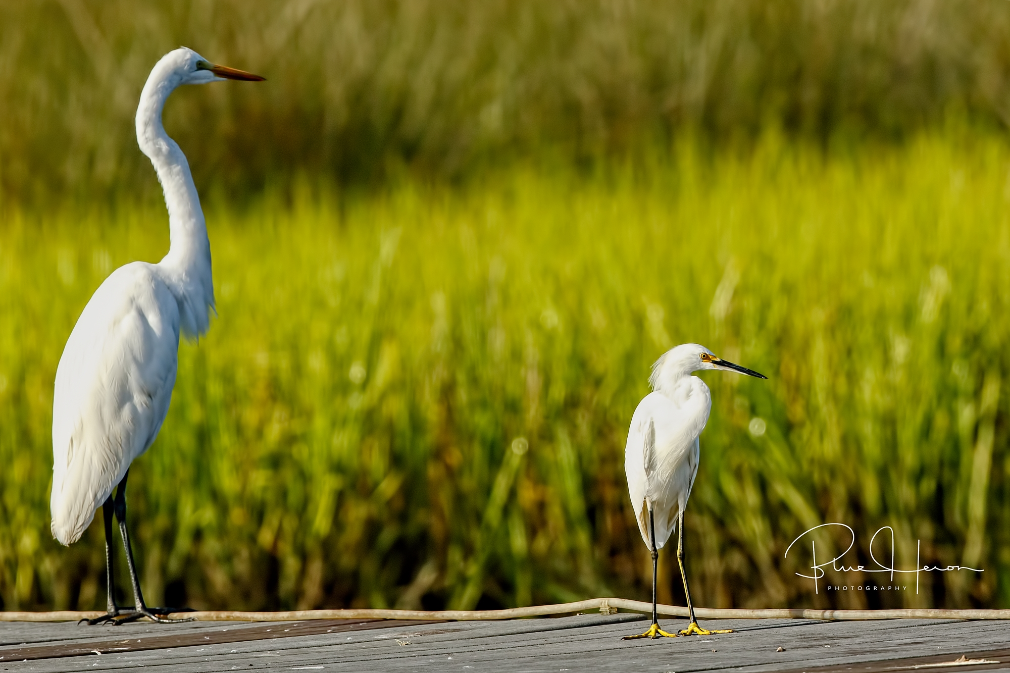 "The Snowy Egret (right) has ""happy feet"" that are yellow and the beak is black"