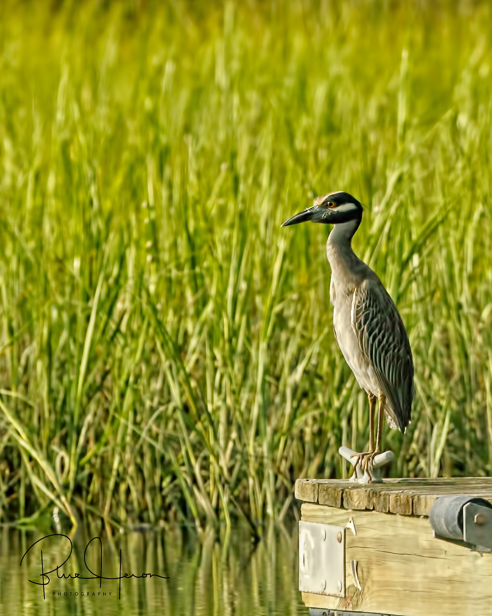 George, the Yellow-crowned Night Heron sits on the dock and stares ..