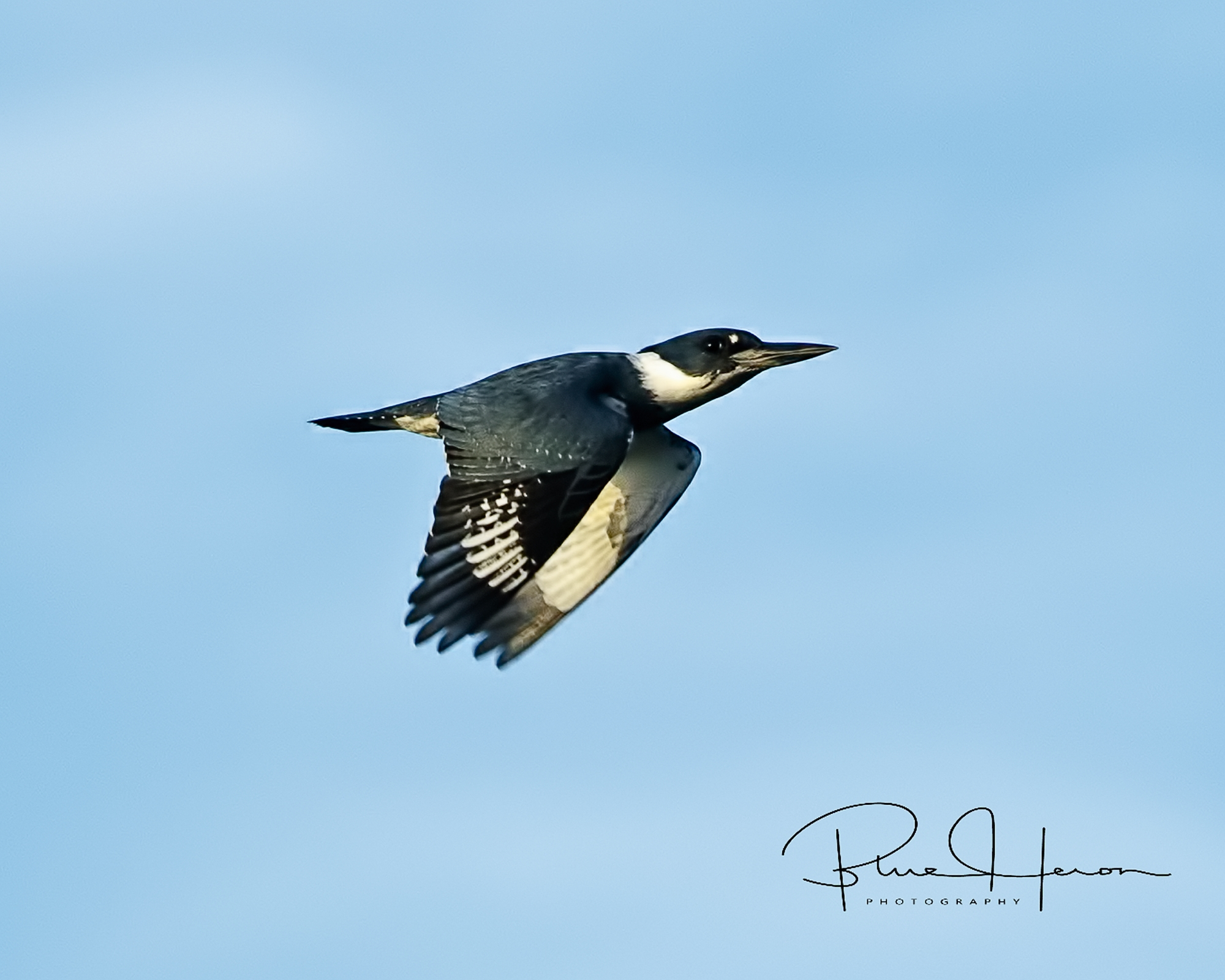 "Rocket Man of the Broward, ""Funky"", the male Belted Kingfisher zooms by.."
