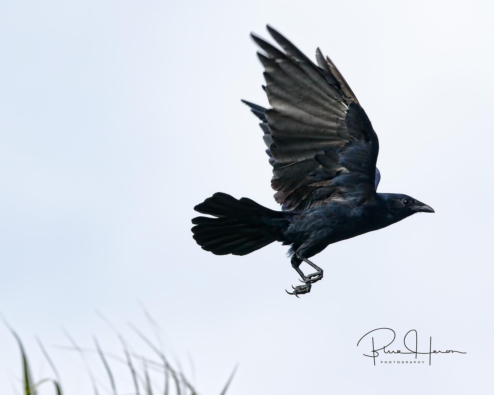 Bye Bye Blackbird...