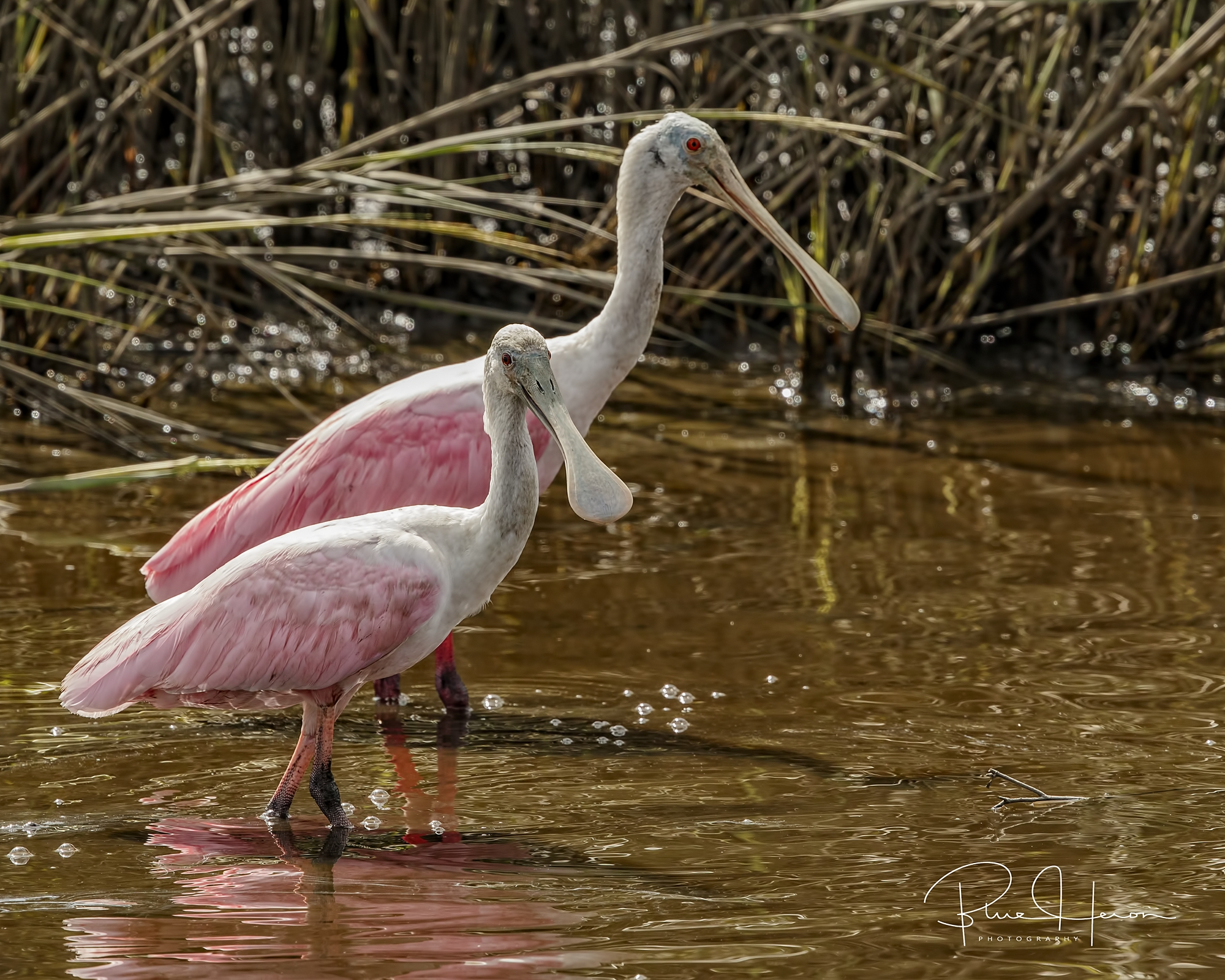 A pair of Roseate Spoonbills pause from their feeding and give me the eye..