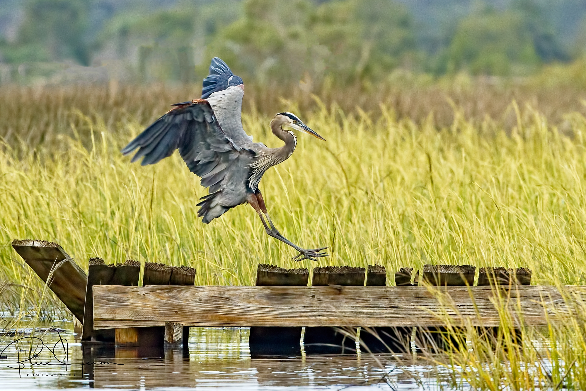 Old Man River (Omar), the Great Blue Heron and Patriarch of the Broward touches down on one of his favorite haunts, the old pier.