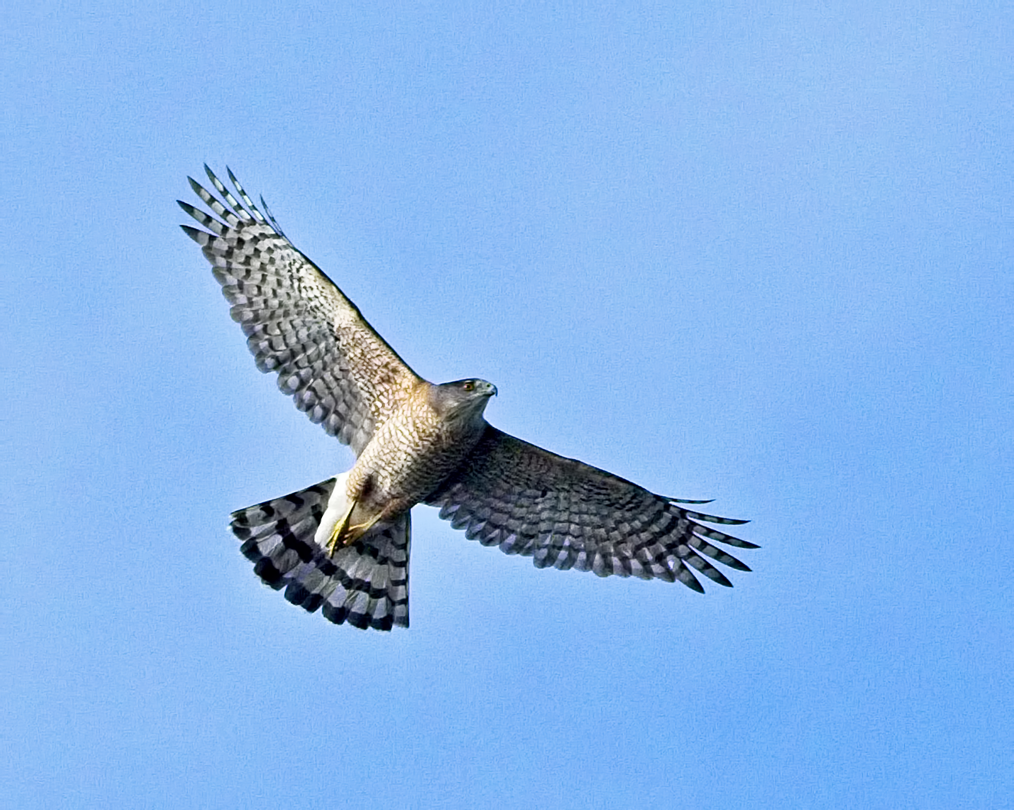 A Coopers Hawk wings overhead