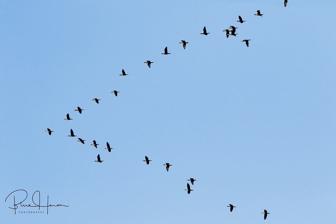 "Saw three V shaped wedges of Cormorants, such a flight is called a ""Gulp, flight""."