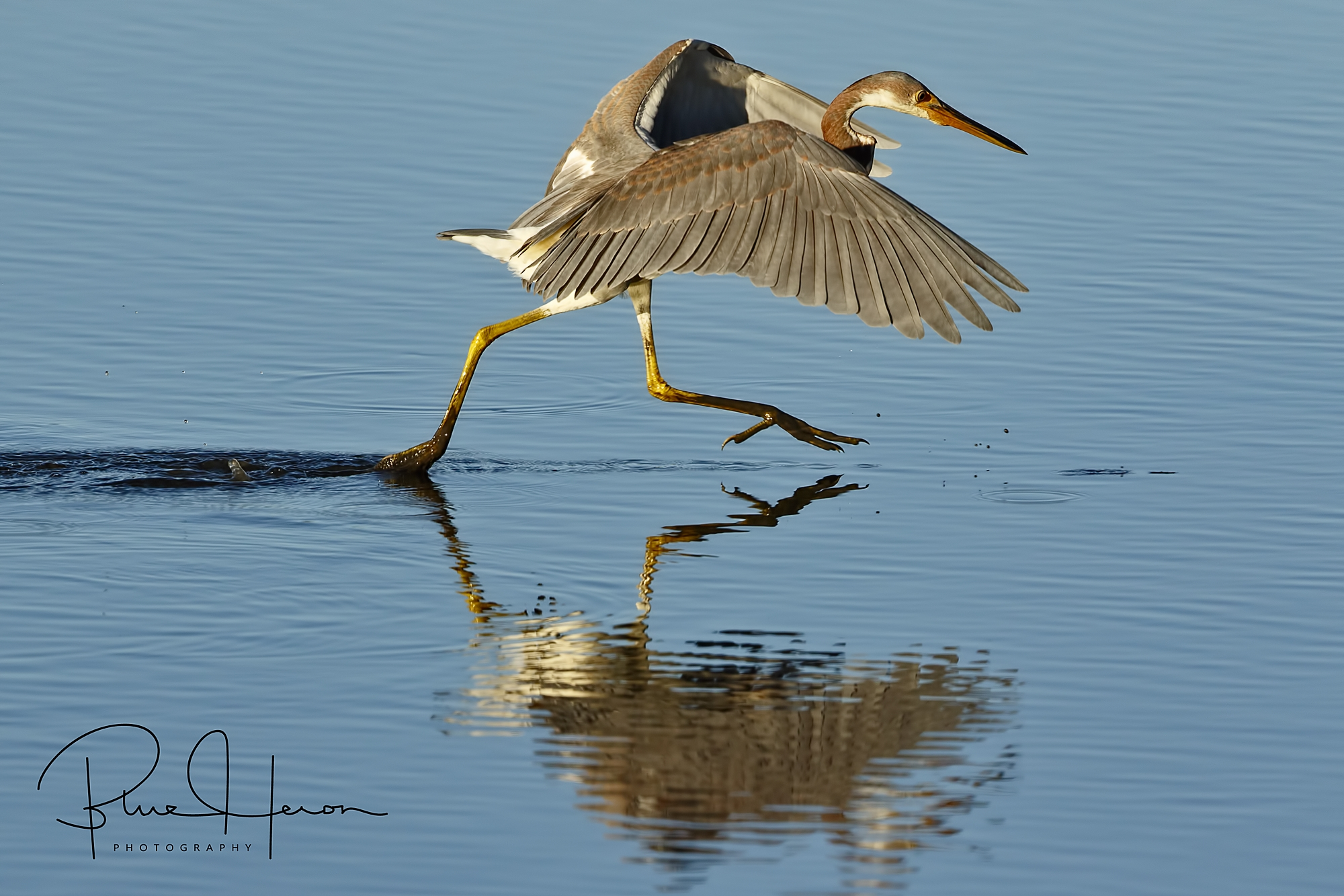 Tricolored Heron on the chase for breakfast minnows...