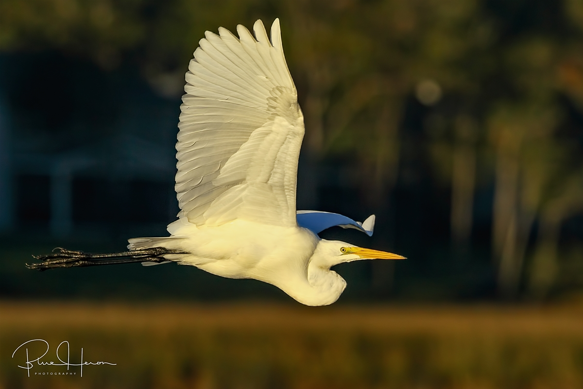 Great Egret lights up the morning..