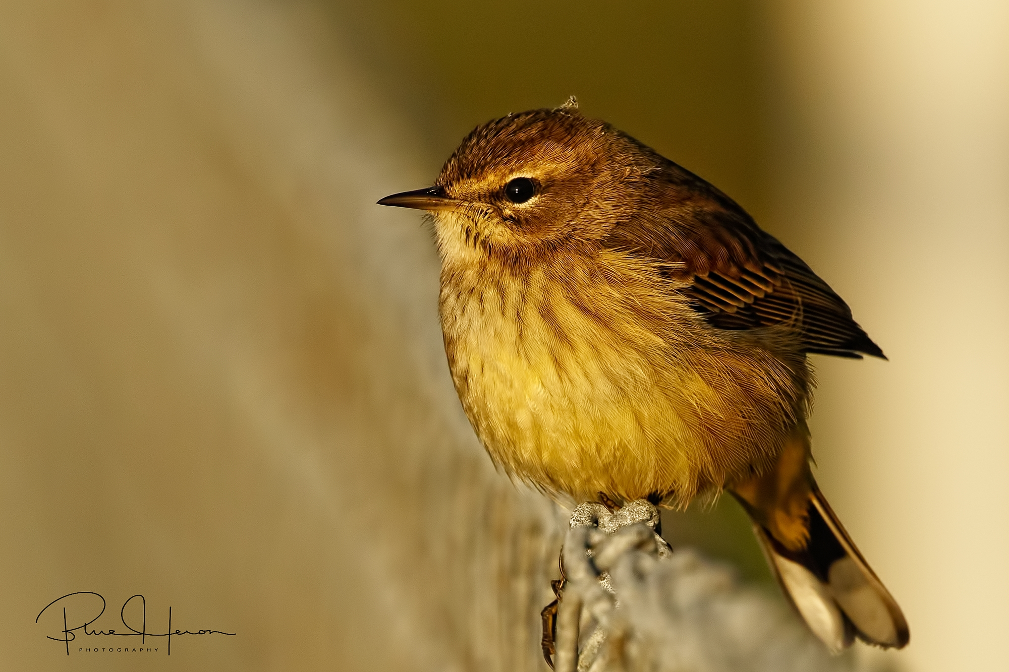 Got this cute little Palm Warbler on the fence,,,it isn't blue or white though..