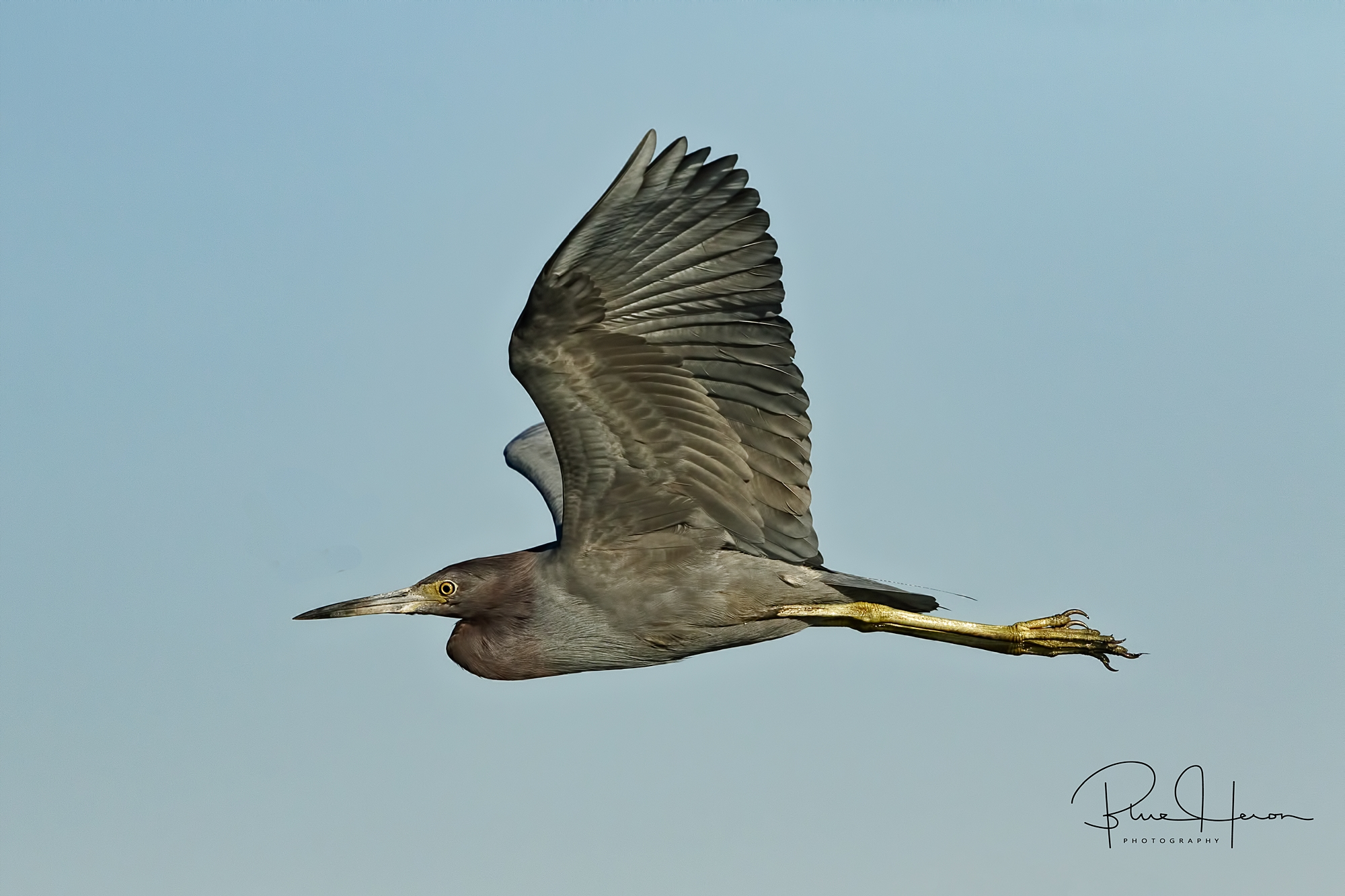 Little Blue Heron fly by..