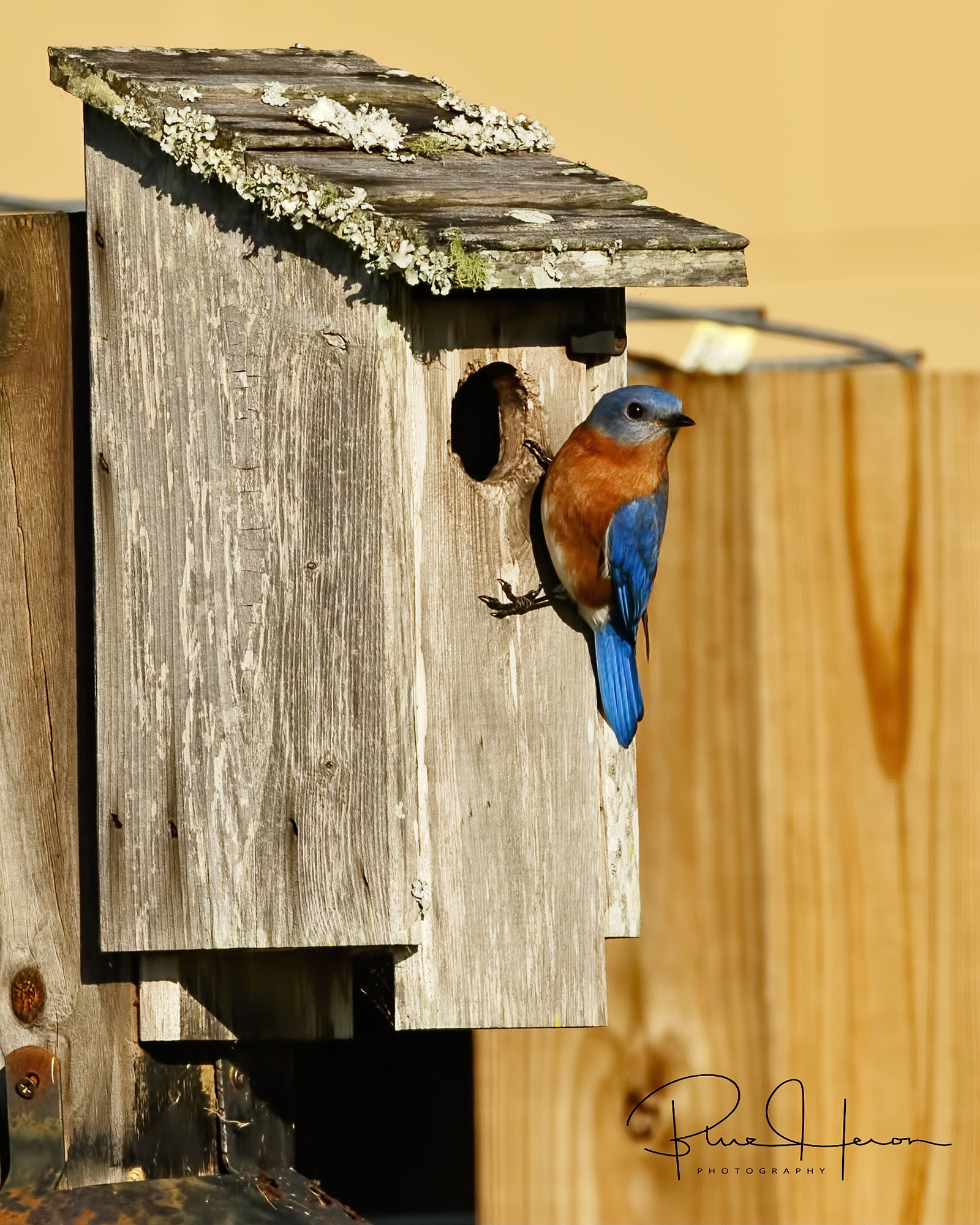 Eastern Bluebird ...time for some nest building!