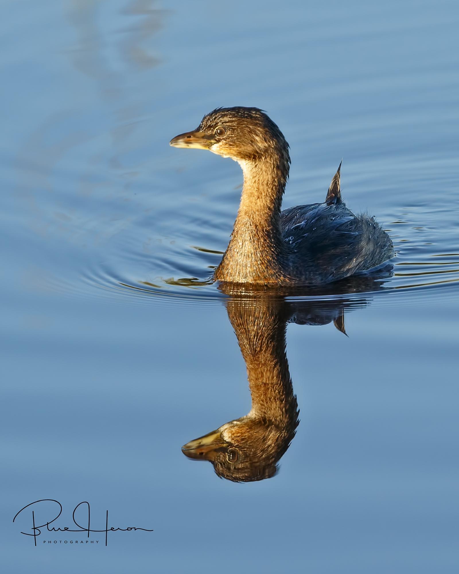 Concealed by my new camouflaged chair the Grebe swims by unaware..