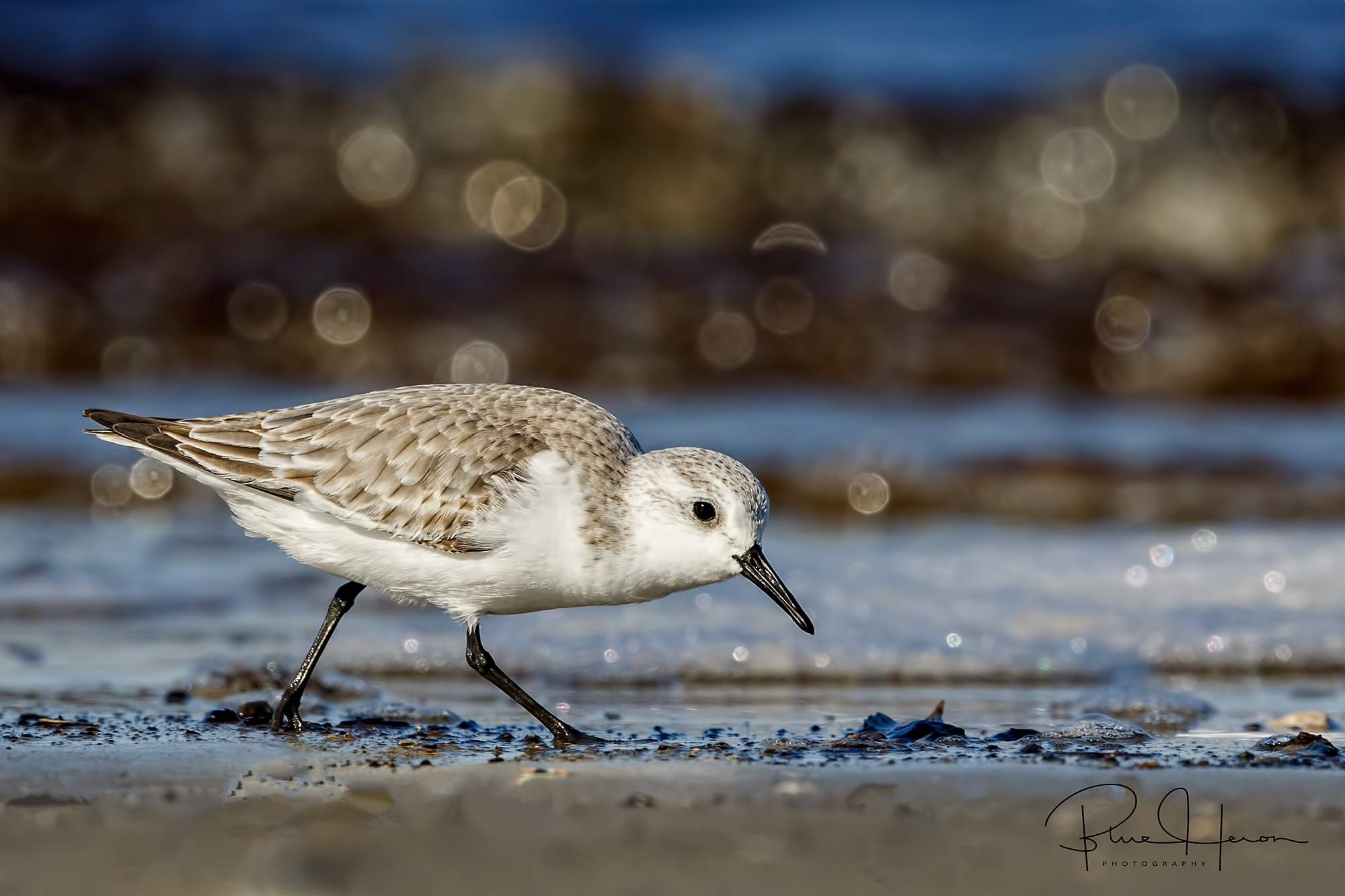 Sanderling scours the beach for tidbits to eat..