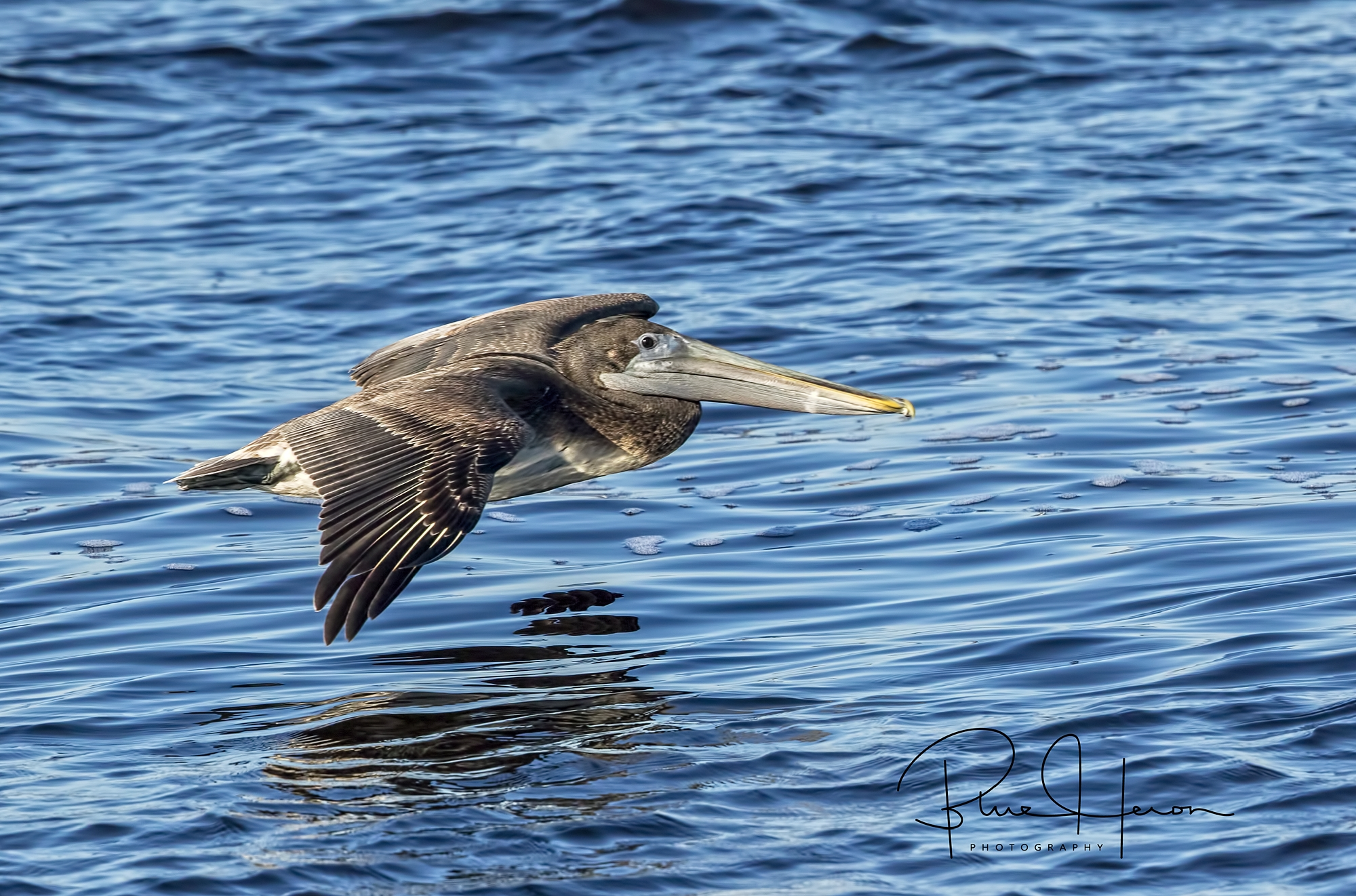 Low flight..Brown Pelican skims over the river..