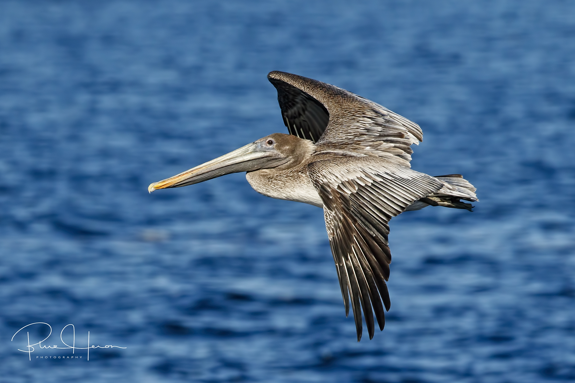 Brown Pelican finally took flight..