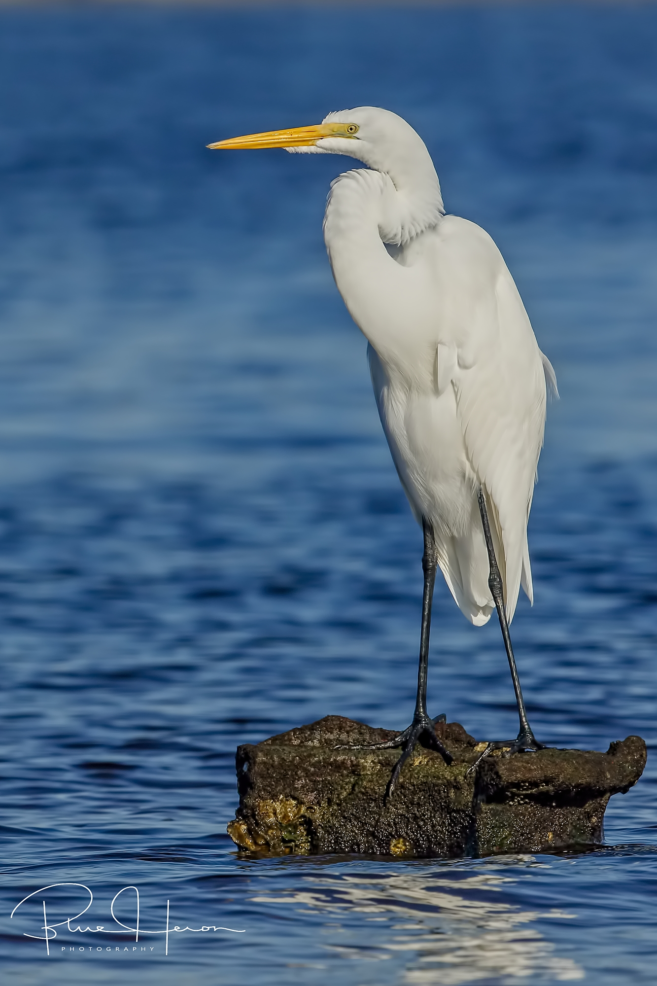Great Egret in blue and white