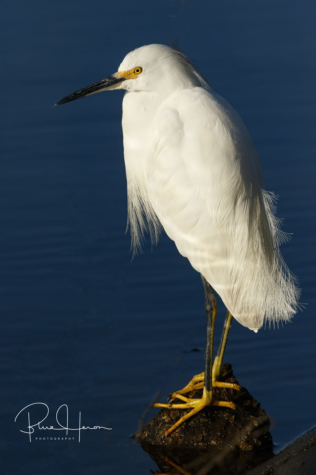 Do I look like a Sugar Plumb Fairy? Nope, not Santa either, I am a Snowy Egret!