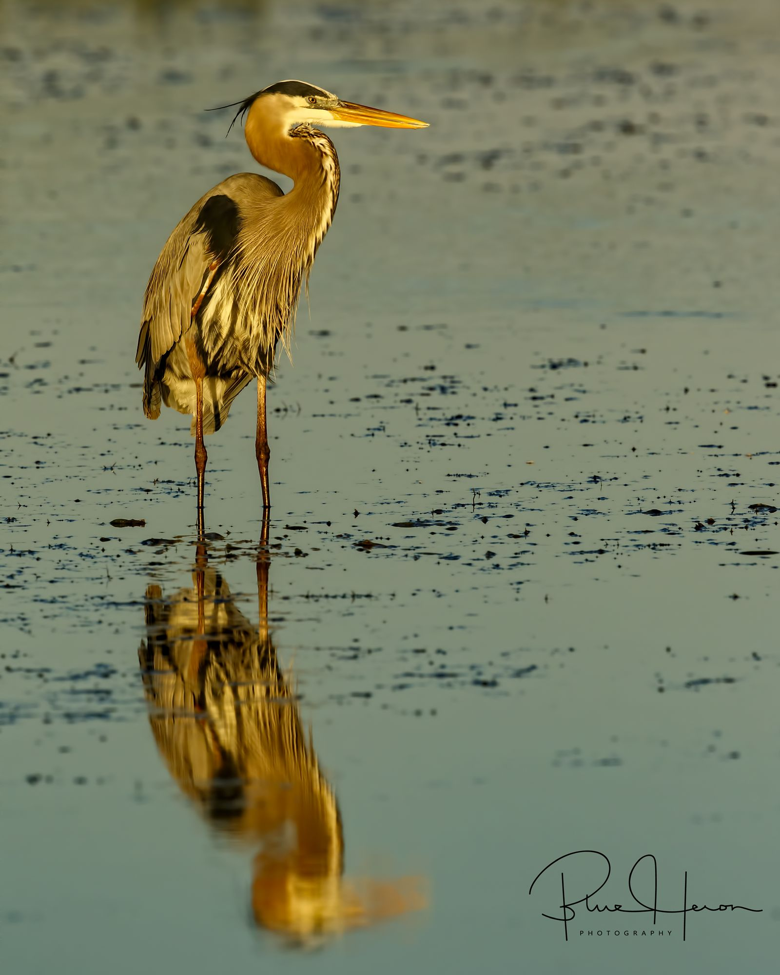 The tidal mud is not to pretty but sure makes catching fish easy for wading marsh birds like this Great Blue Heron