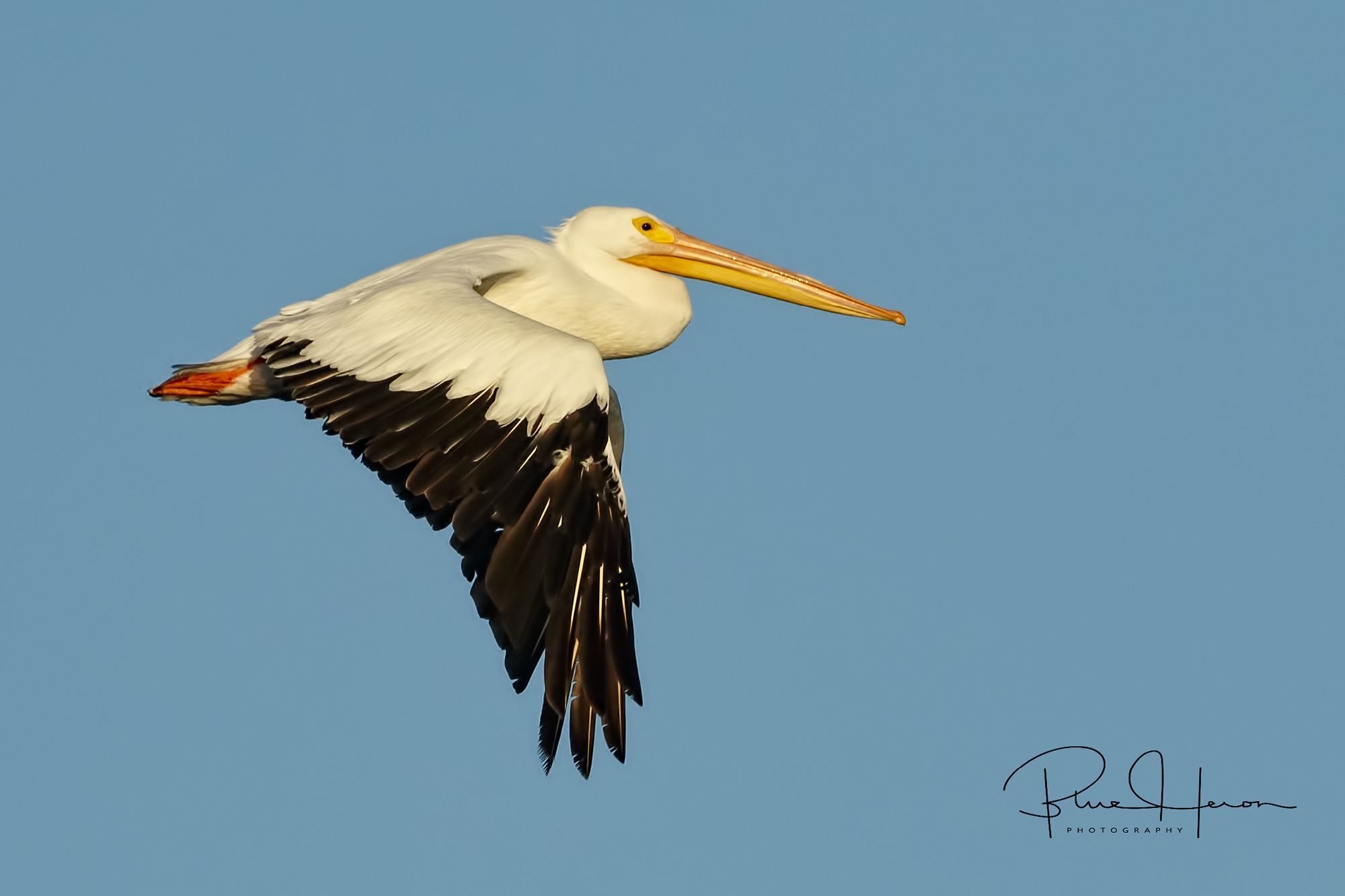 I had hoped to capture the White Pelicans swimming in the tide but anther photographer spooked them into flight.