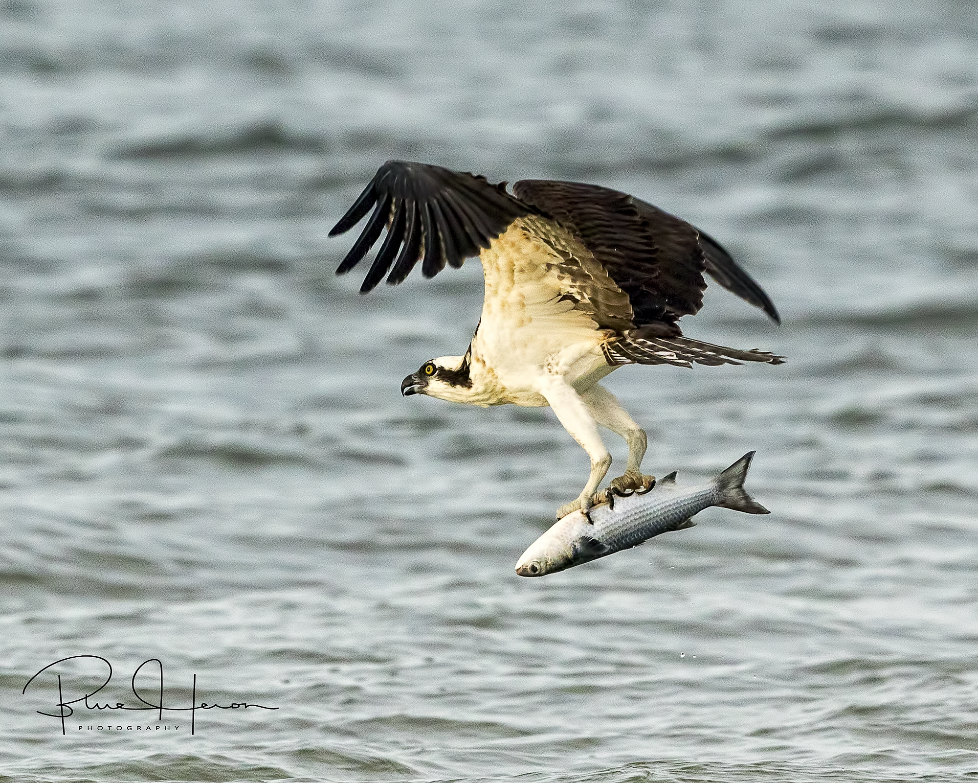 Raptors such as this Osprey feed on the ebb and flow of tides when the fish are schooling into channels.
