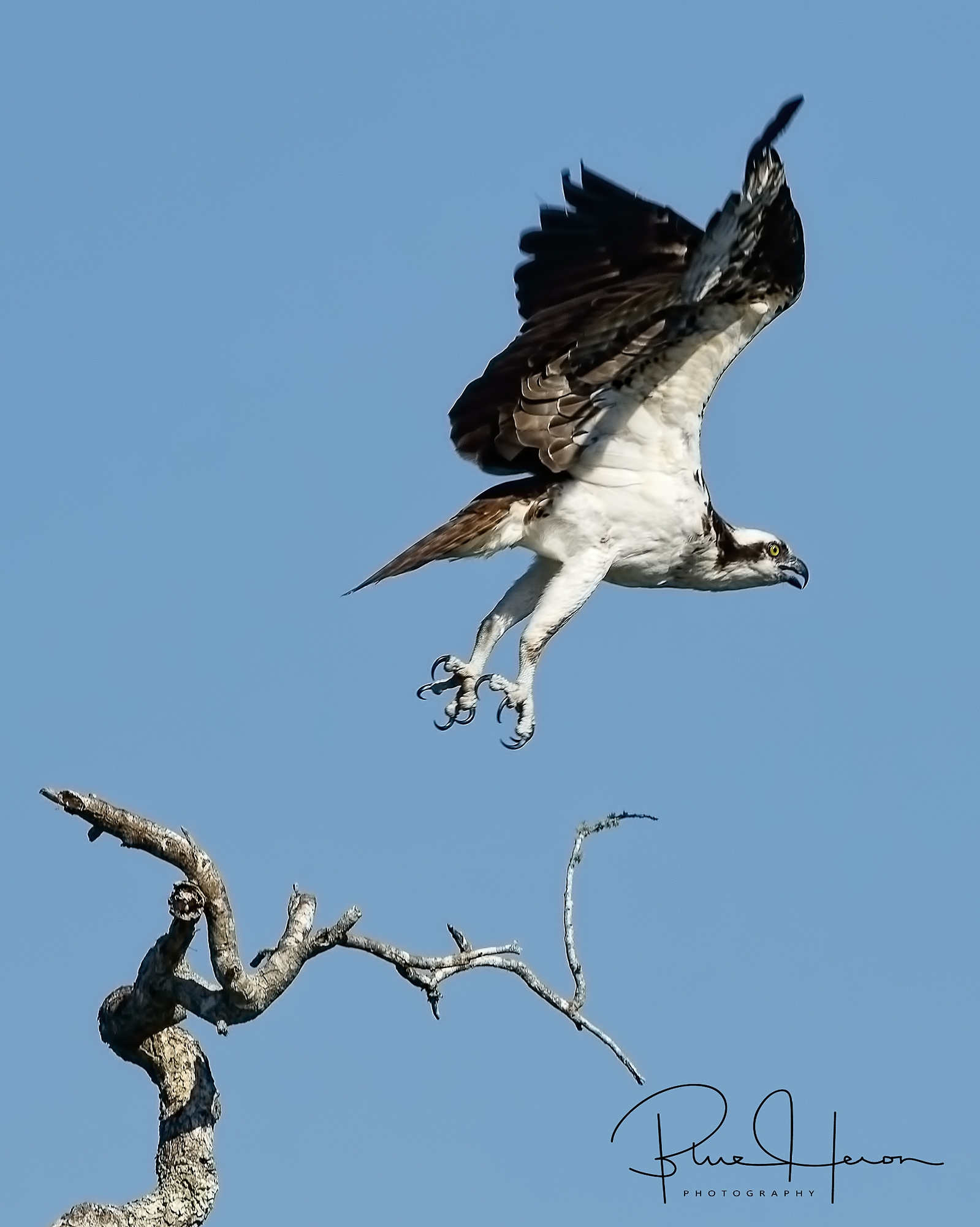 Osprey lift off..look at those talons!