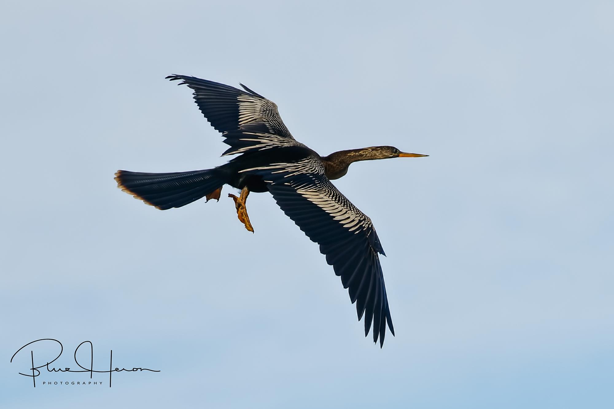Male Anhinga returning to the nesting site..