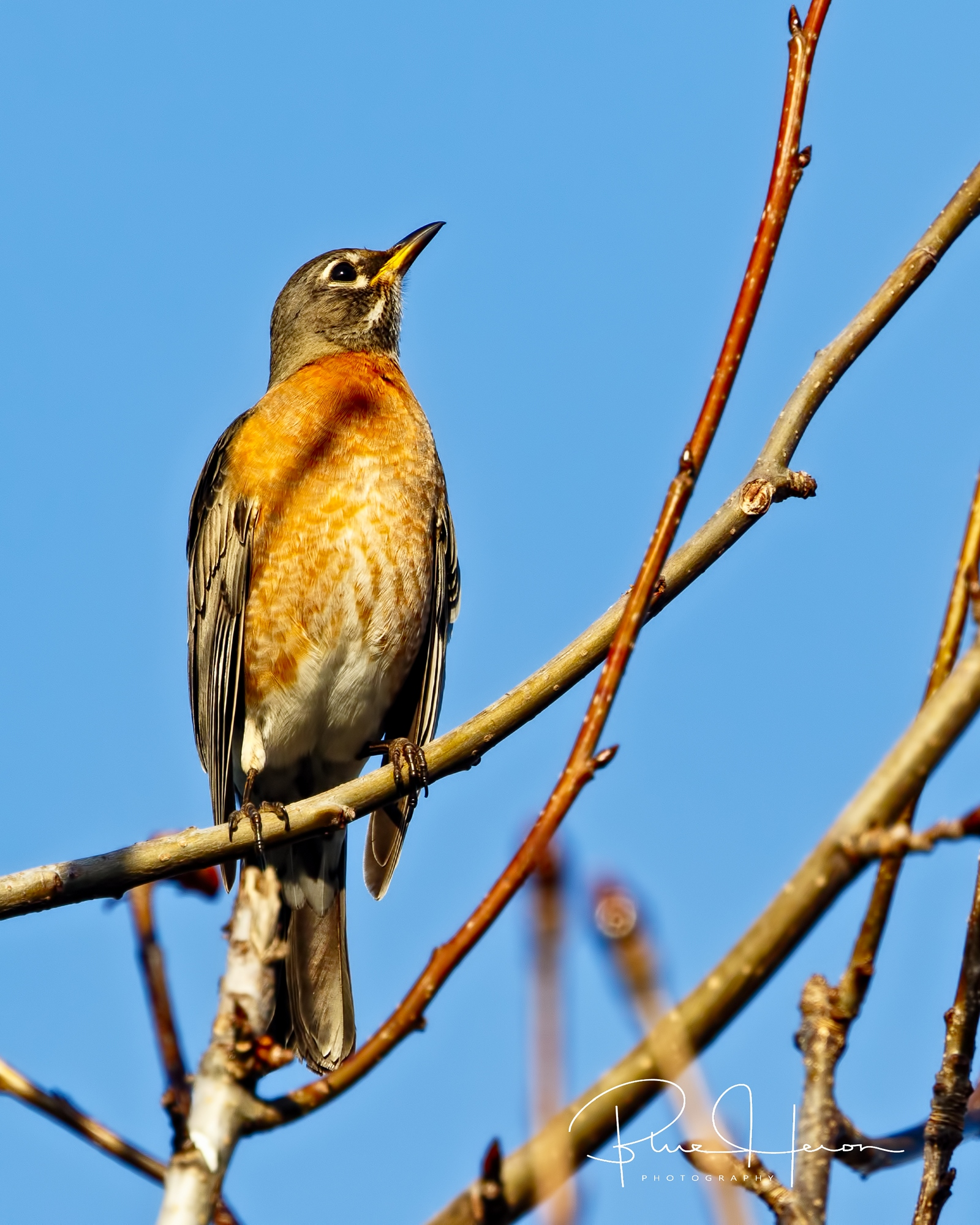 Sure sign of spring is the American Robin..this one is heading North to be the Early Bird.