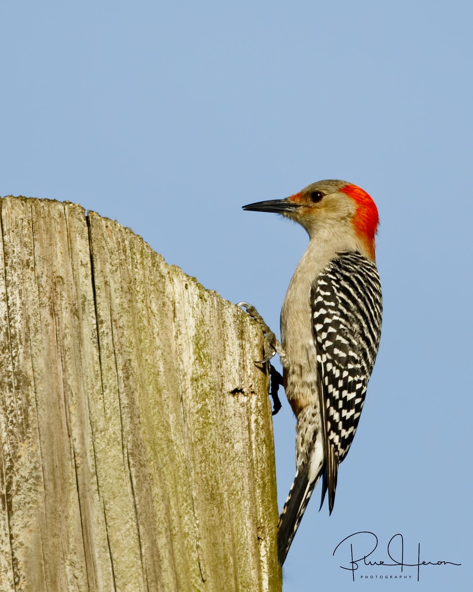 Red-bellied Woodpecker..(female)...Knock on Wood!