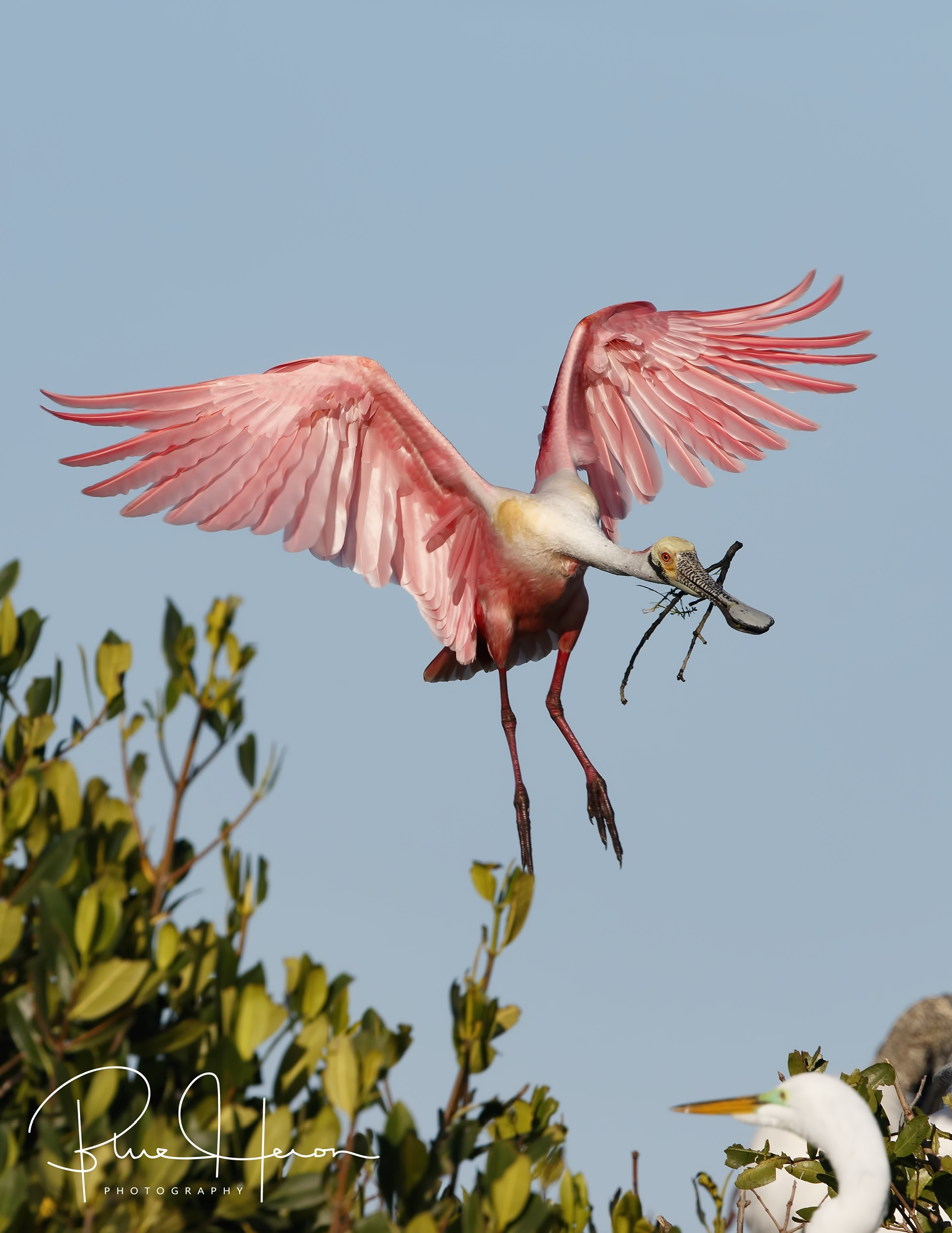 This Roseate Spoonbill brings another stick and carefully lands among the bird covered branches below.