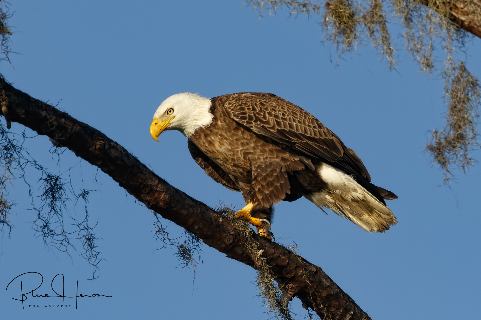 A Bald Eagle male rests after providing breakfast to some newly hatched eaglets.