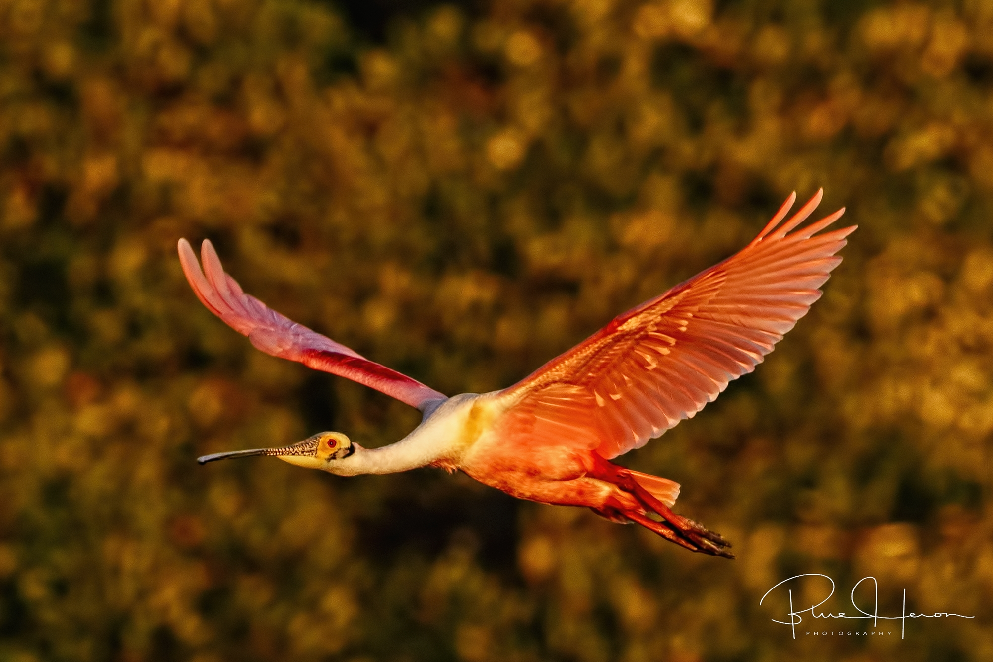 """The workshop was billed as """"Spoonbills"""" and more...Indeed it was. Here a rosy sunset of a Roseate Spoonbill returning at sundown."""