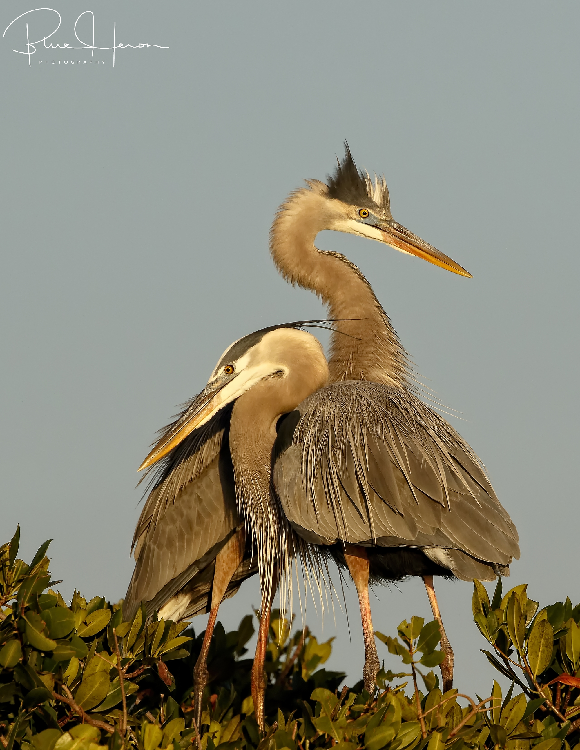 Sunset Blues...Great Blue Heron couple reunites at the end of the day..