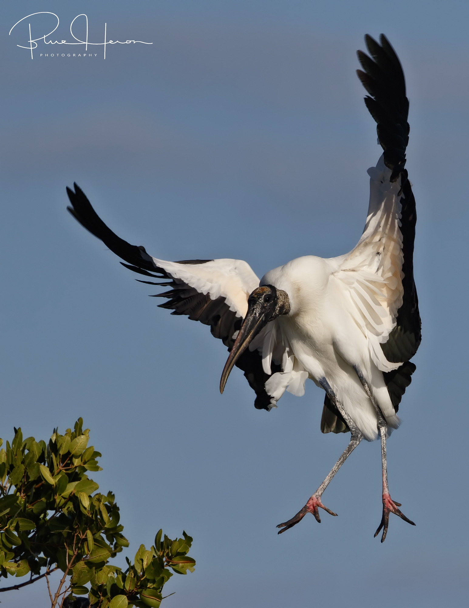 Light as a feather, this Wood Stork does an aerial ballet