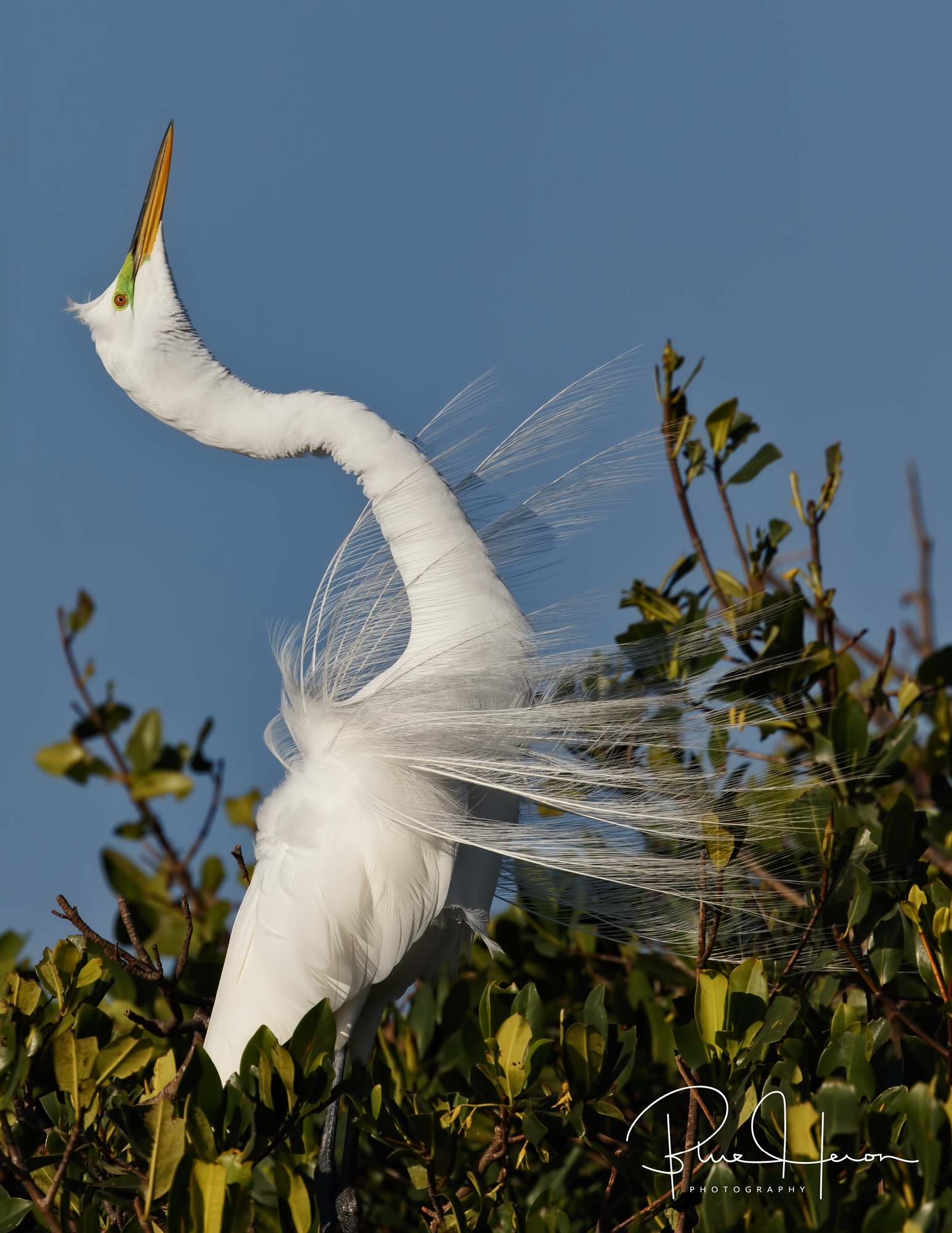 Great Egret with breeding plumage in display!