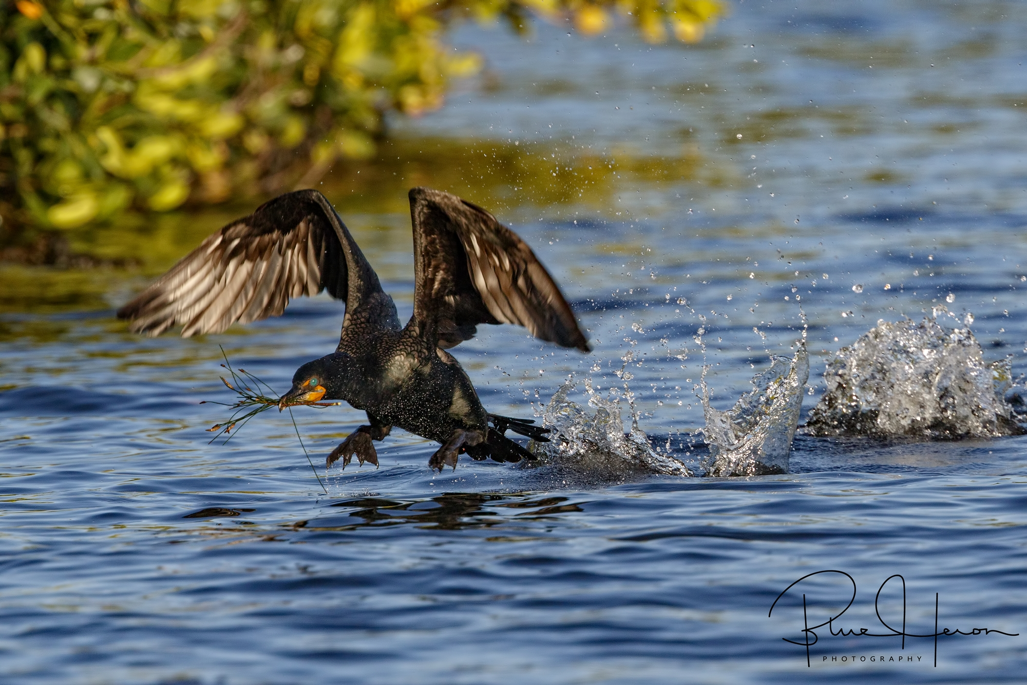Cormorant lifting off with nesting material