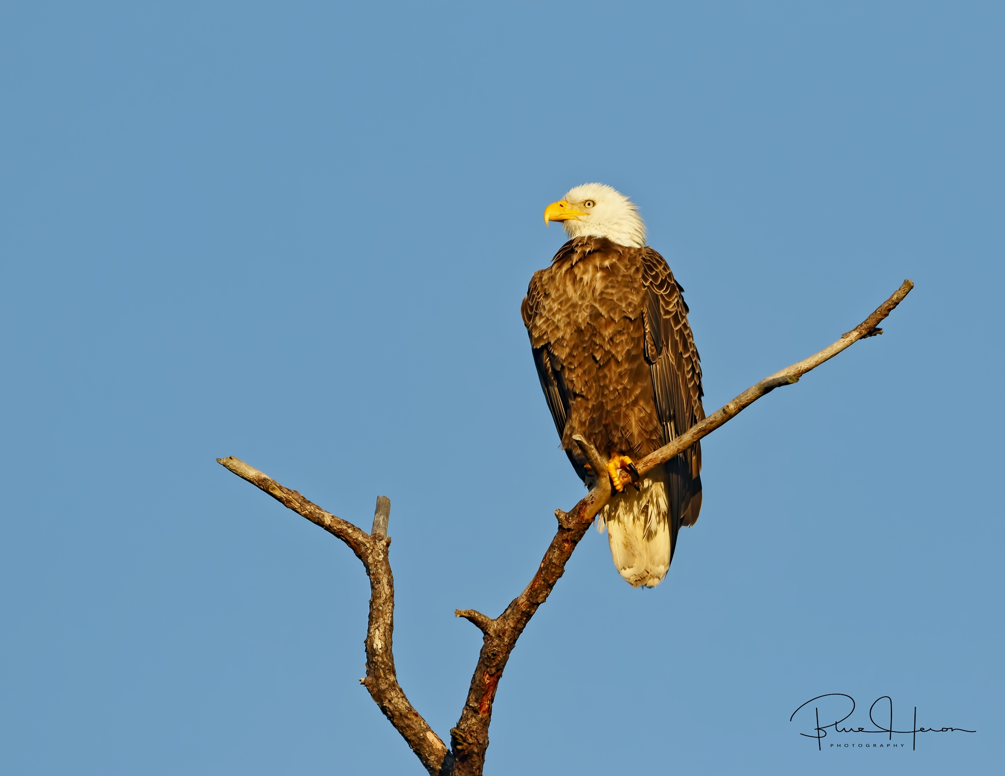 An American Bald Eagle female standing vigil near the nest. Females are usually a bit larger than their male counterparts.