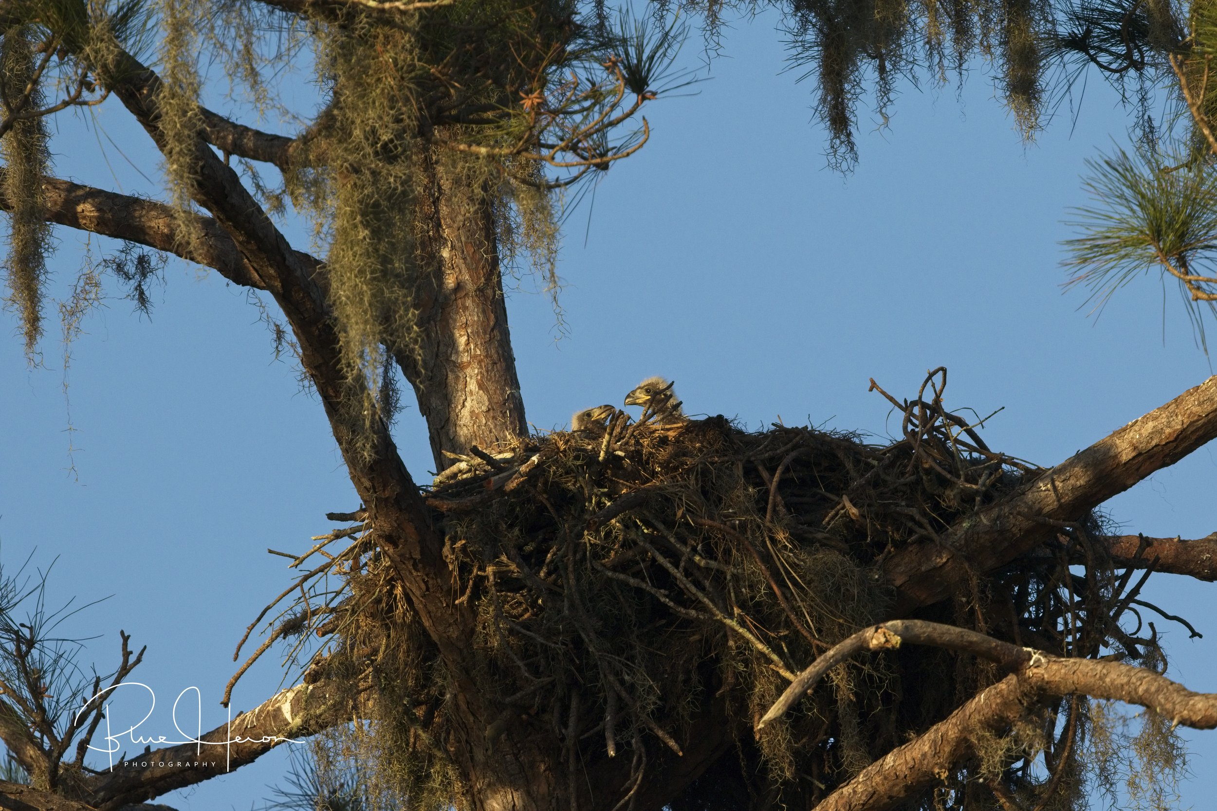Florida Bald Eagle nest in a pine tree..two small fuzzy eaglet heads can barely be seen peeking up over the rim..