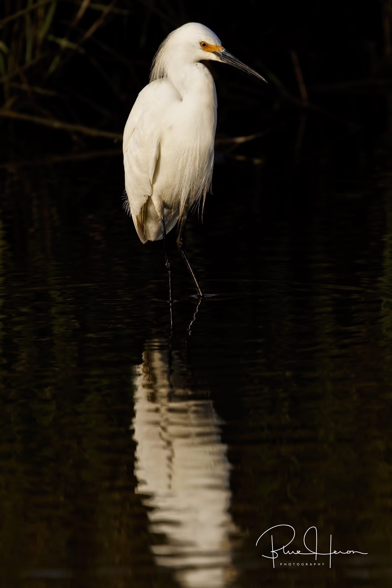 Someone say minnow time? Snowy Egret looks for snacks