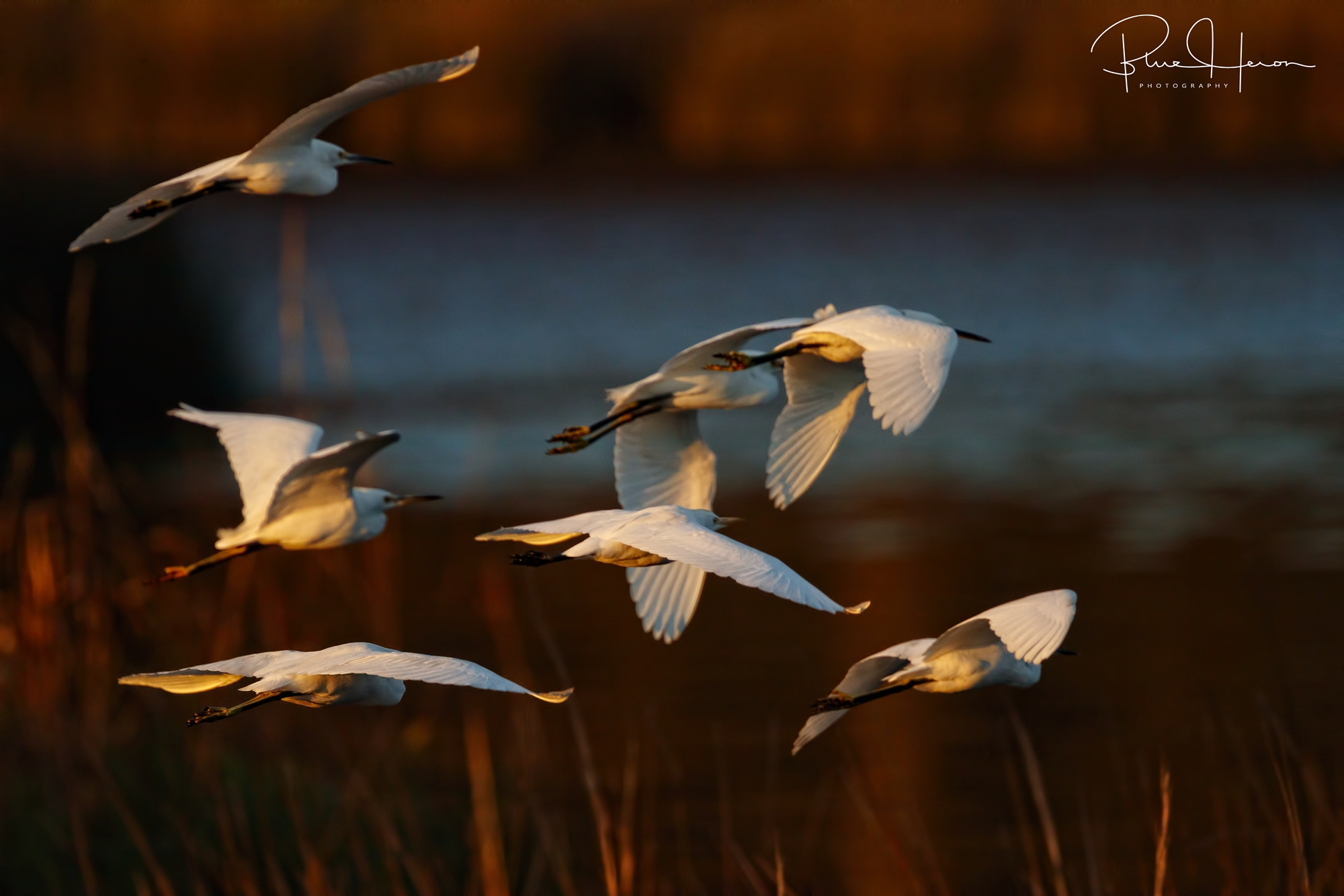 A snowy flurry of Snowy Egrets descend on the marsh..