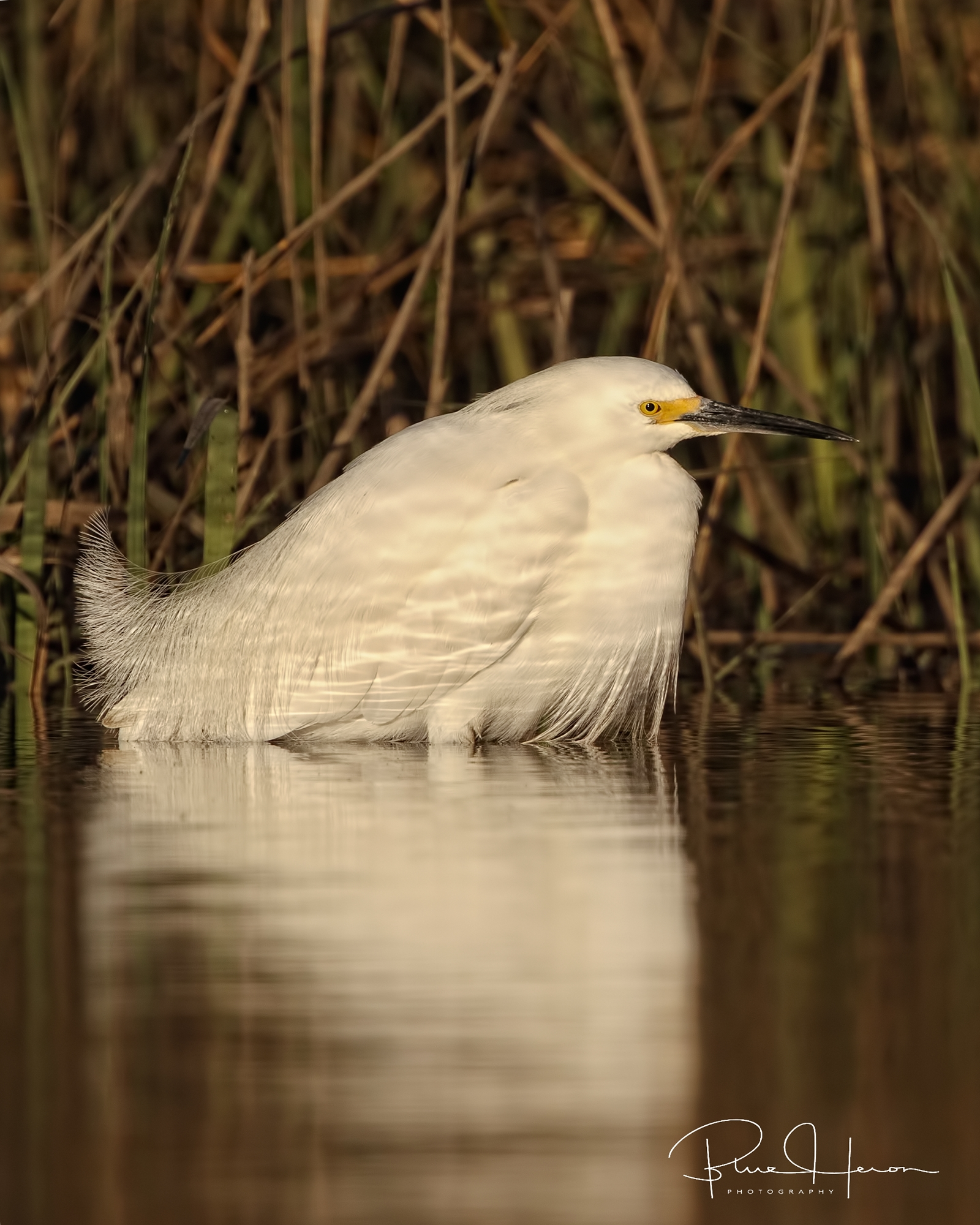 The egrets are normally very communal and friendly