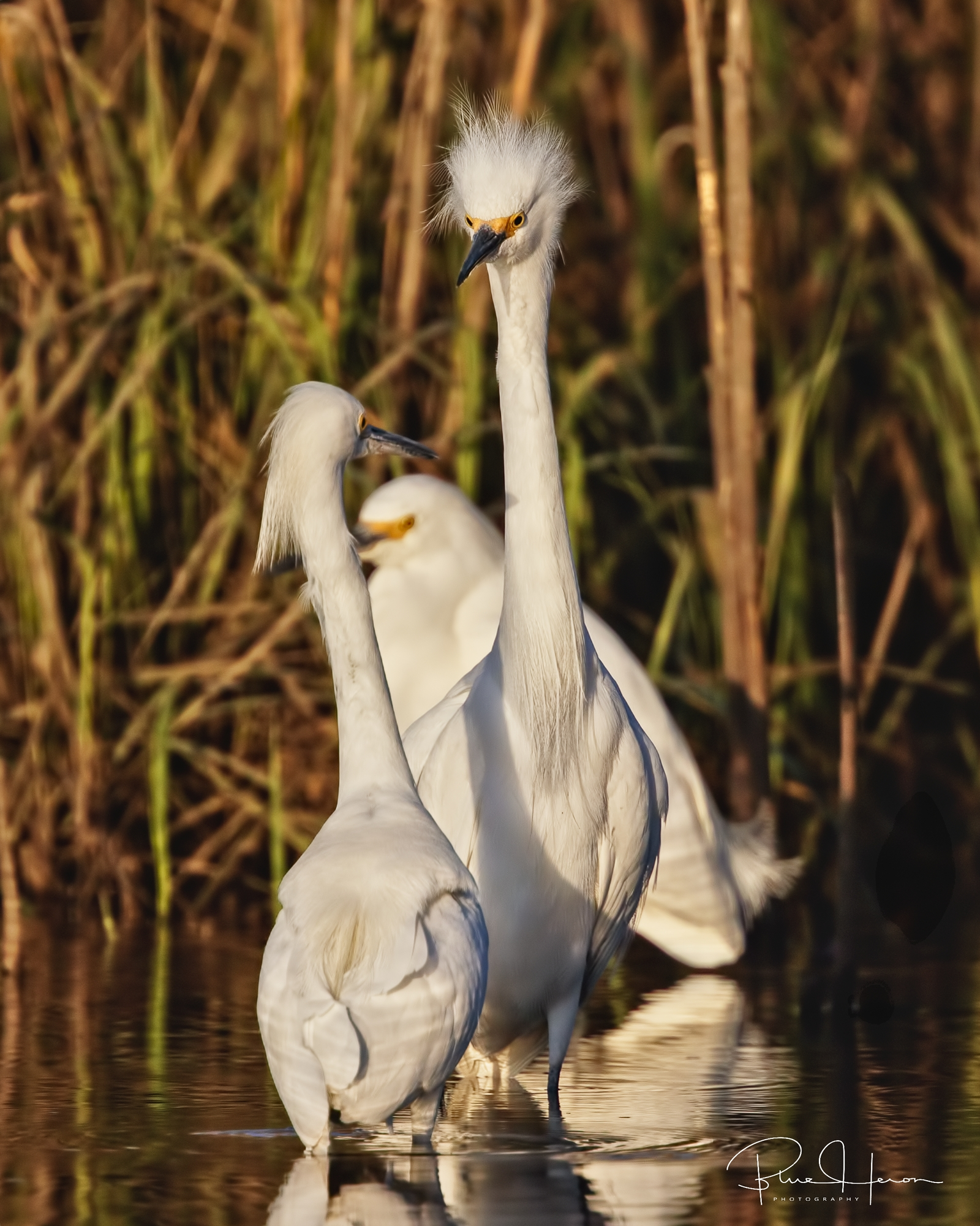 Today things were different...they seemed very short tempered if another Egret approached!