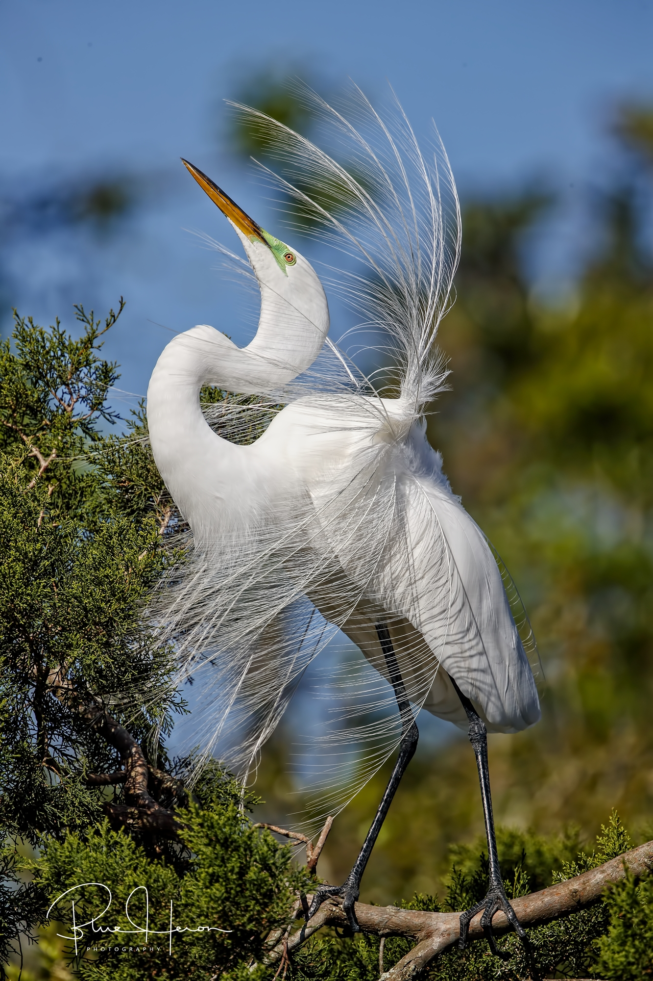 Windblown mating plumes on a beautiful Great Egret