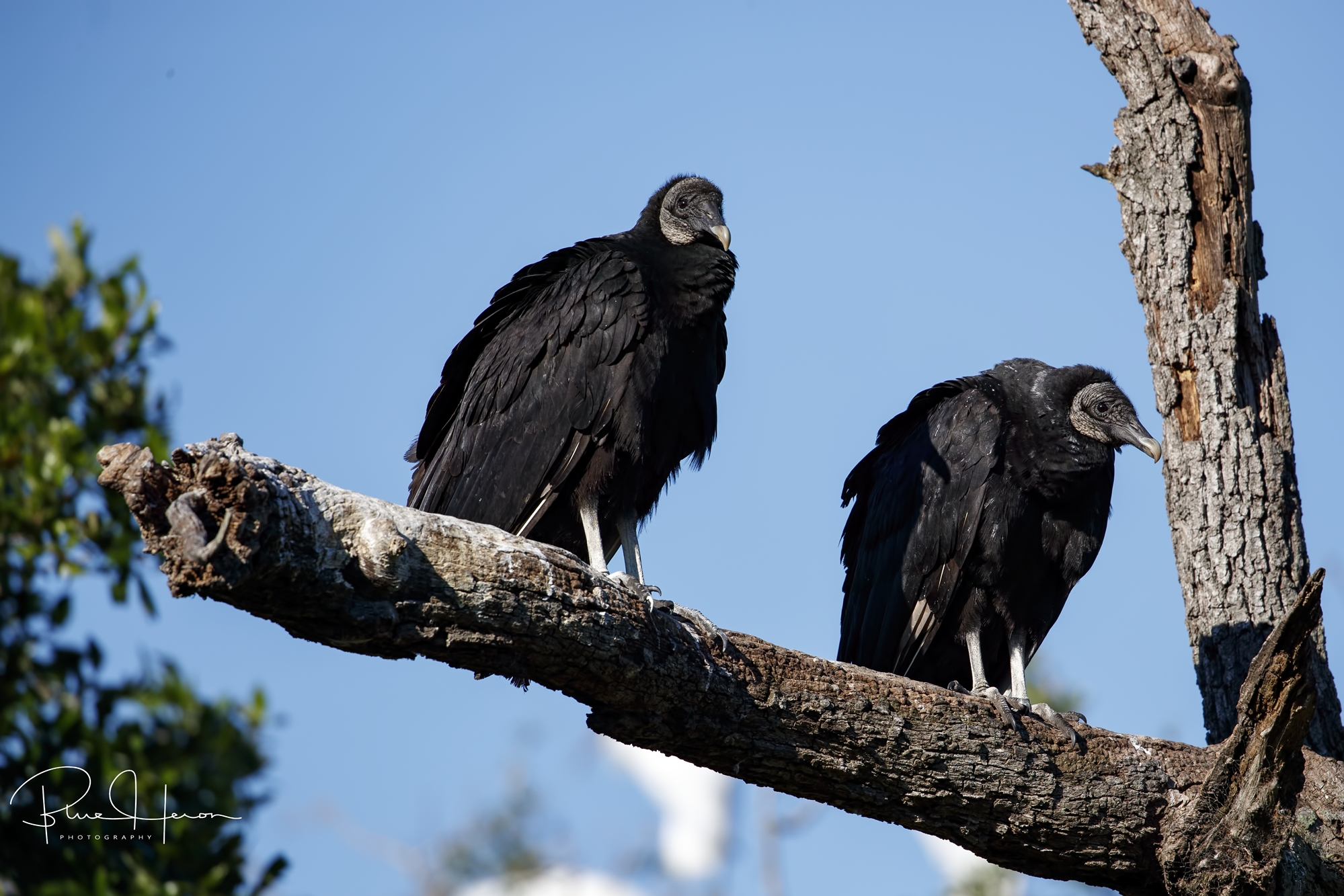 Black Vultures have replaced some of the Wood Stork nesting spots.