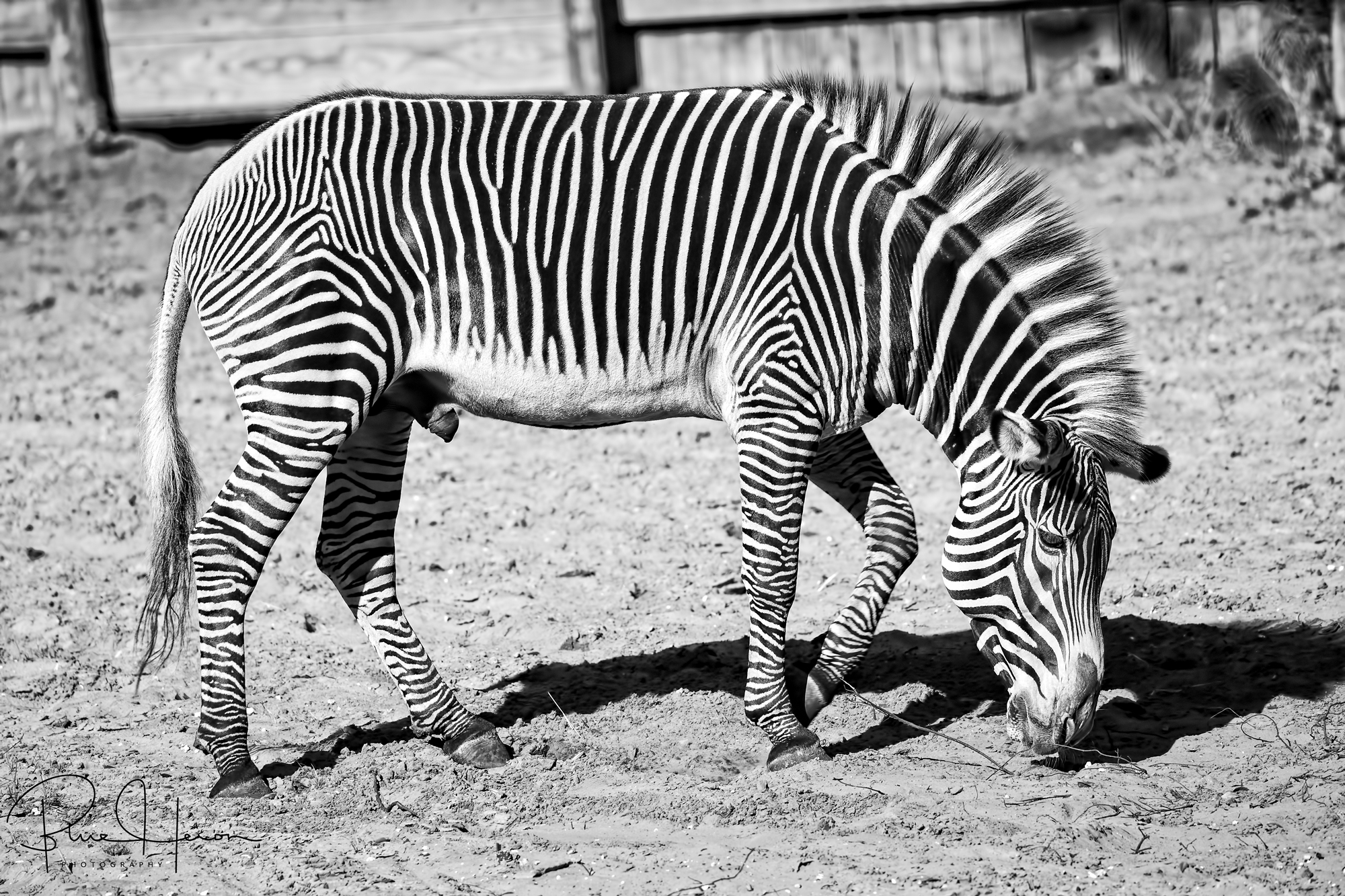 Most of the animals were normal,like black and white