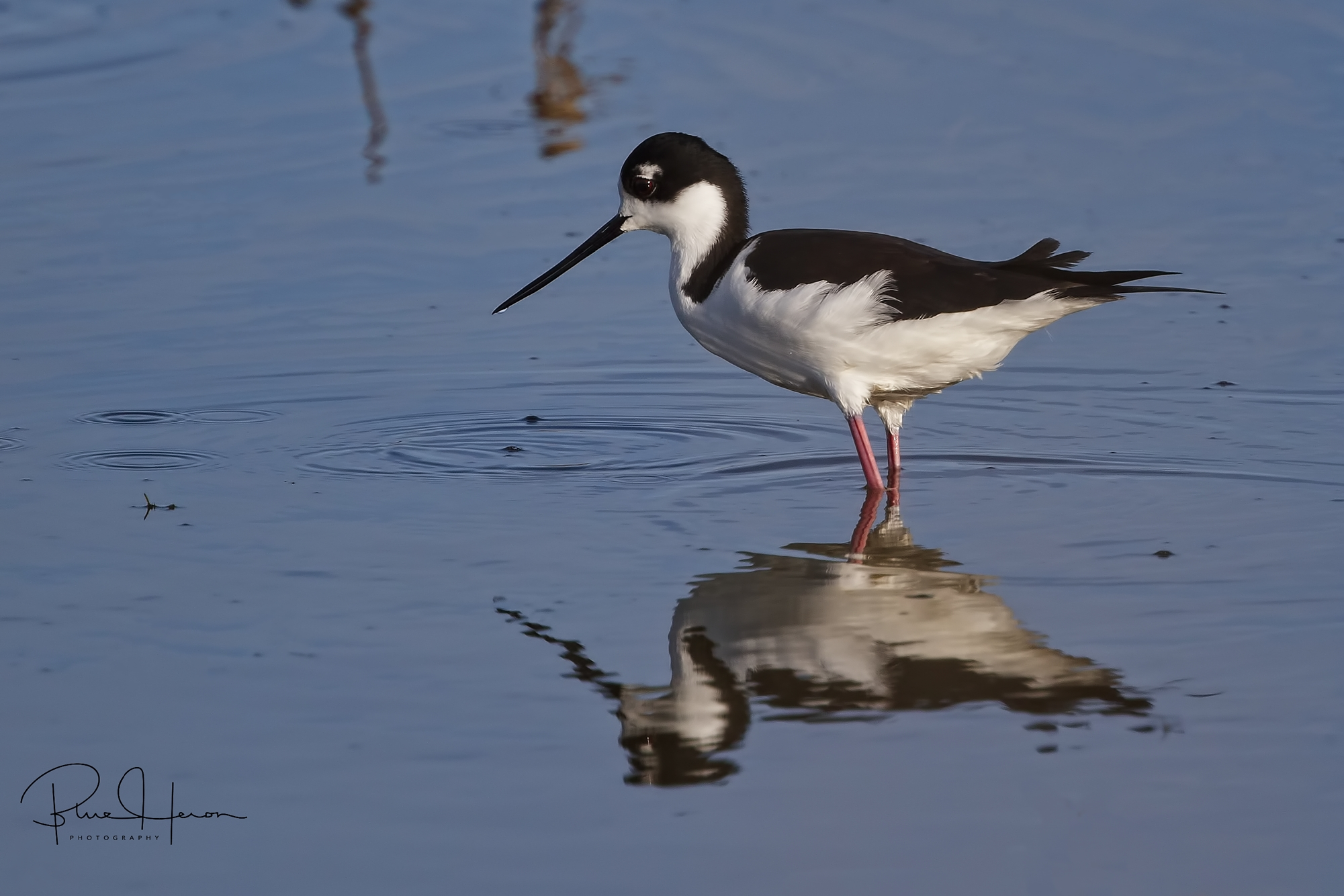 A first for me, I capture this Black Necked Stilt at the wetlands..
