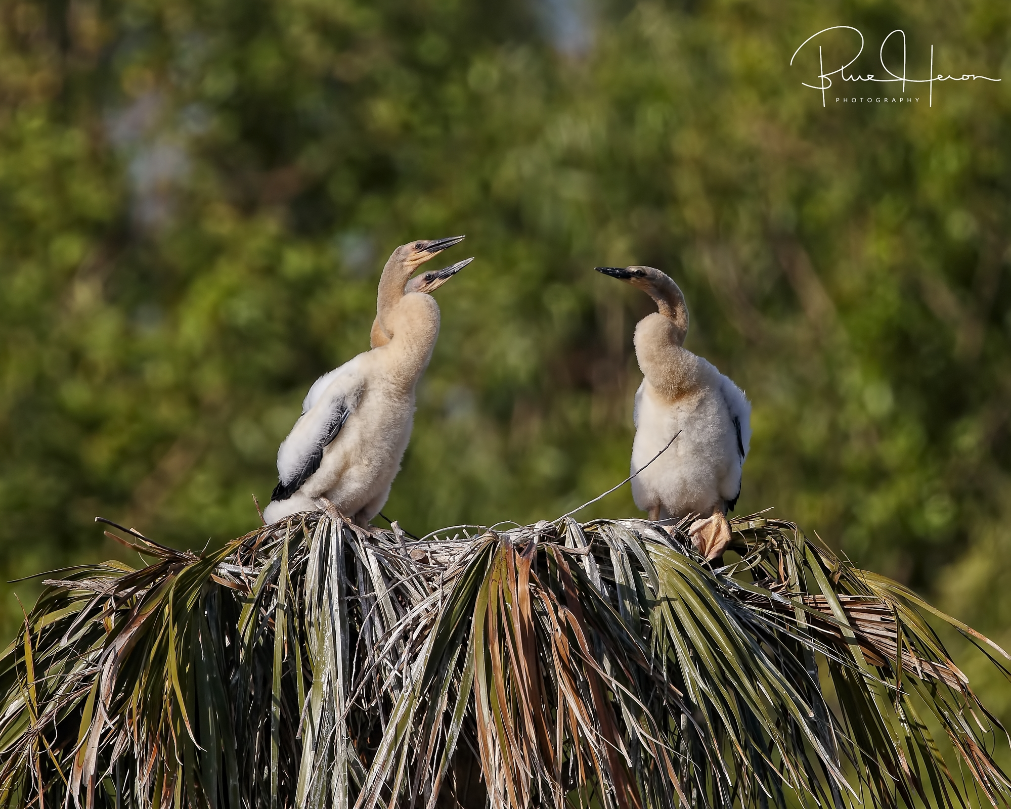 The Anhinga Chicks have hatched and are growing fast..lots of food needed to keep them happy!