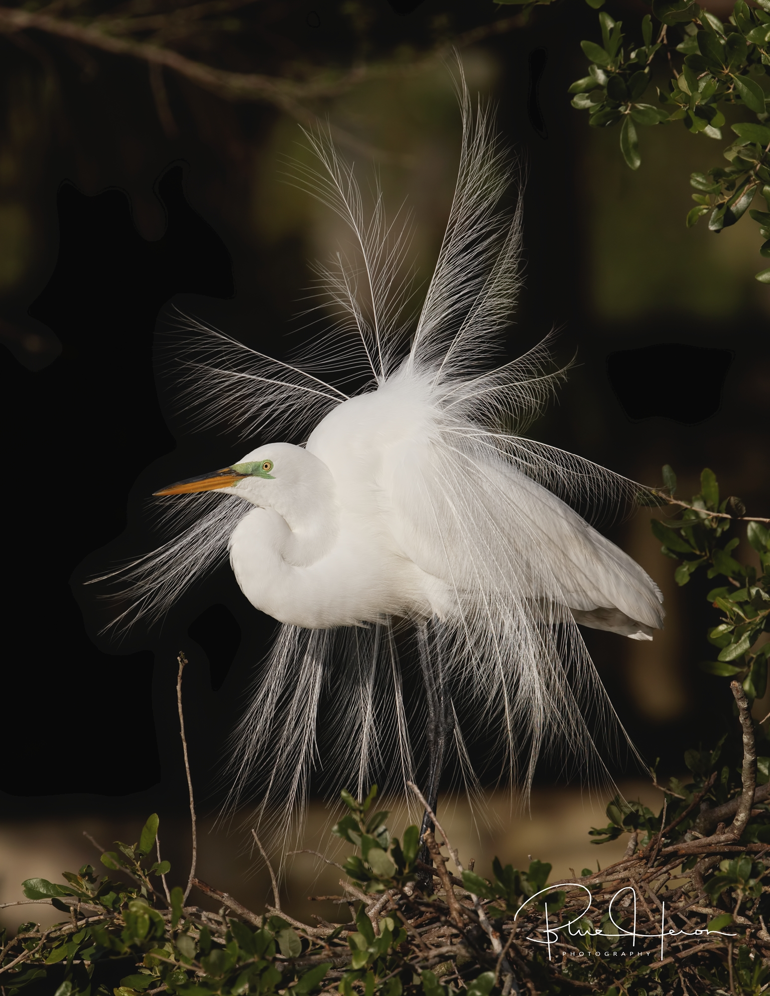 Great Egret Display, the head is usually lowered at the start..