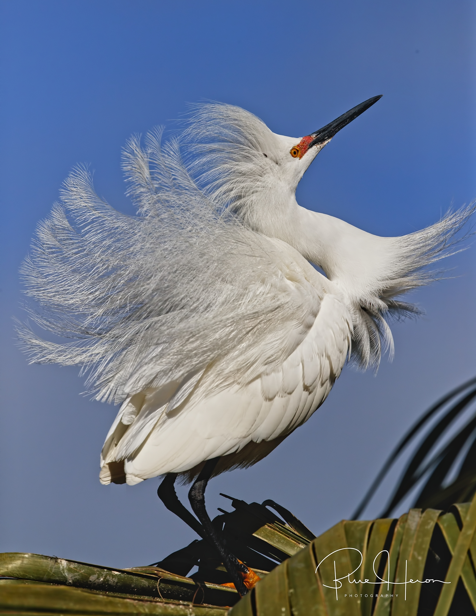 Those Great Egrets got nothing on me says the Snowy!
